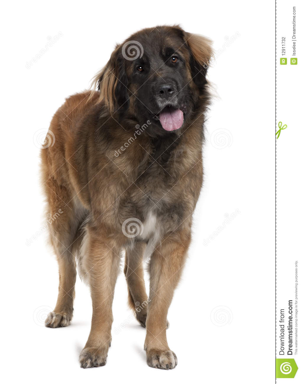 Side View Of Leonberger Dog Standing Stock Photography
