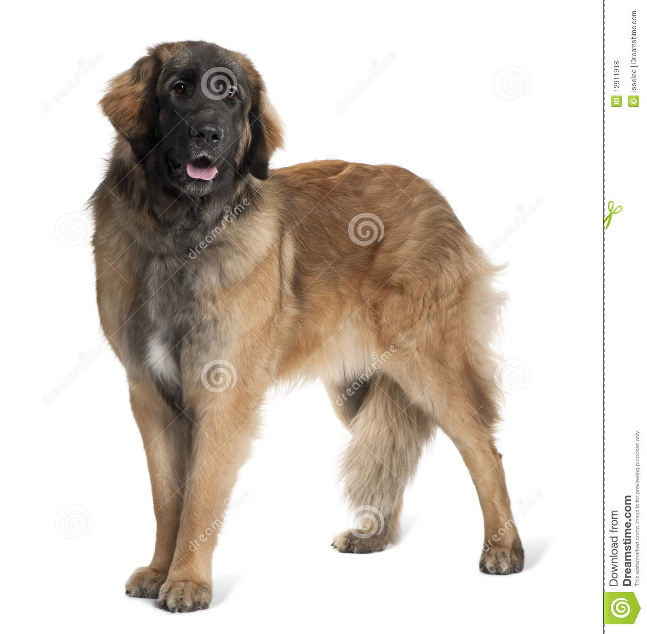 Side View Of Leonberger Dog, Standing And Panting Royalty