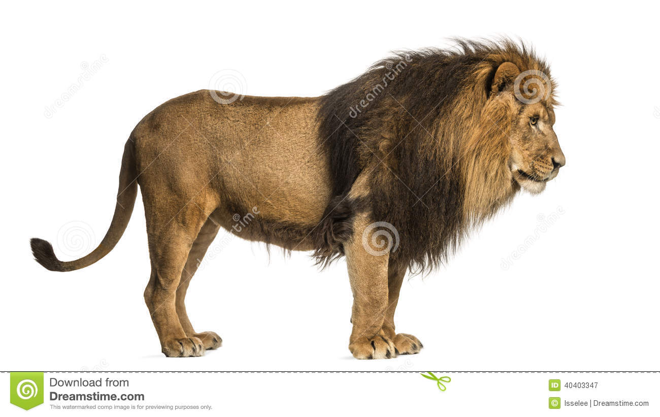 Lion standing profile