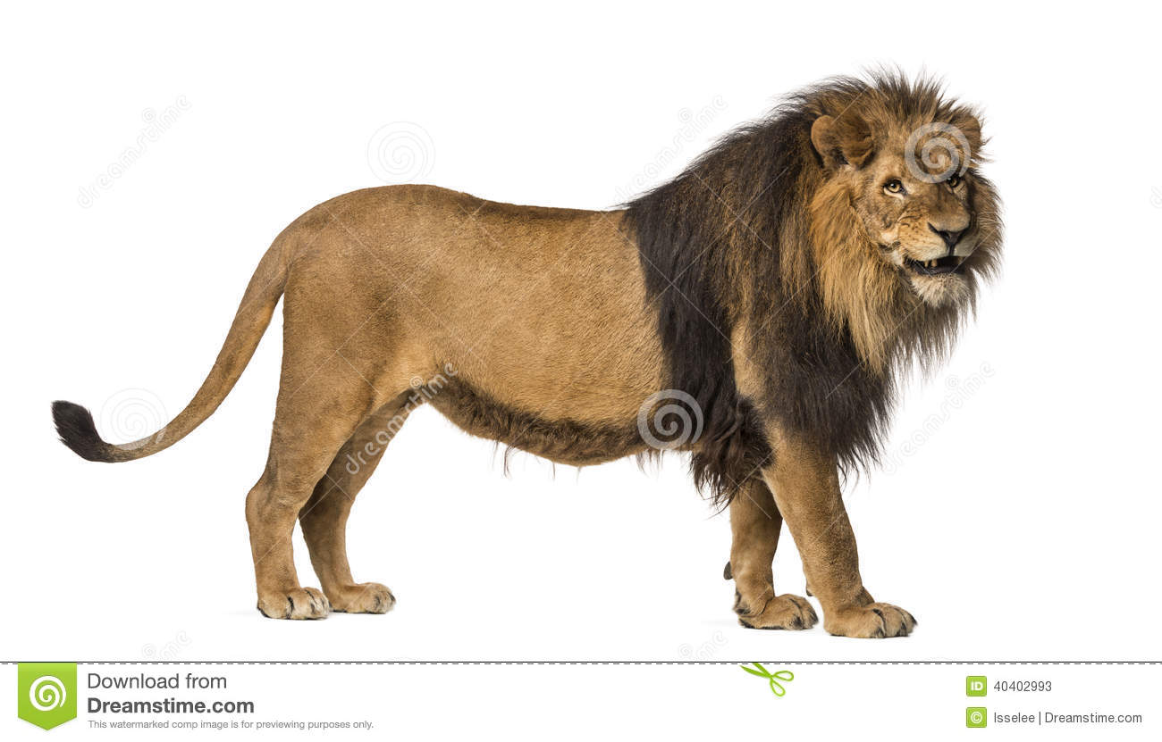 Side View Of A Lion Standing, Roaring, Panthera Leo Stock ...