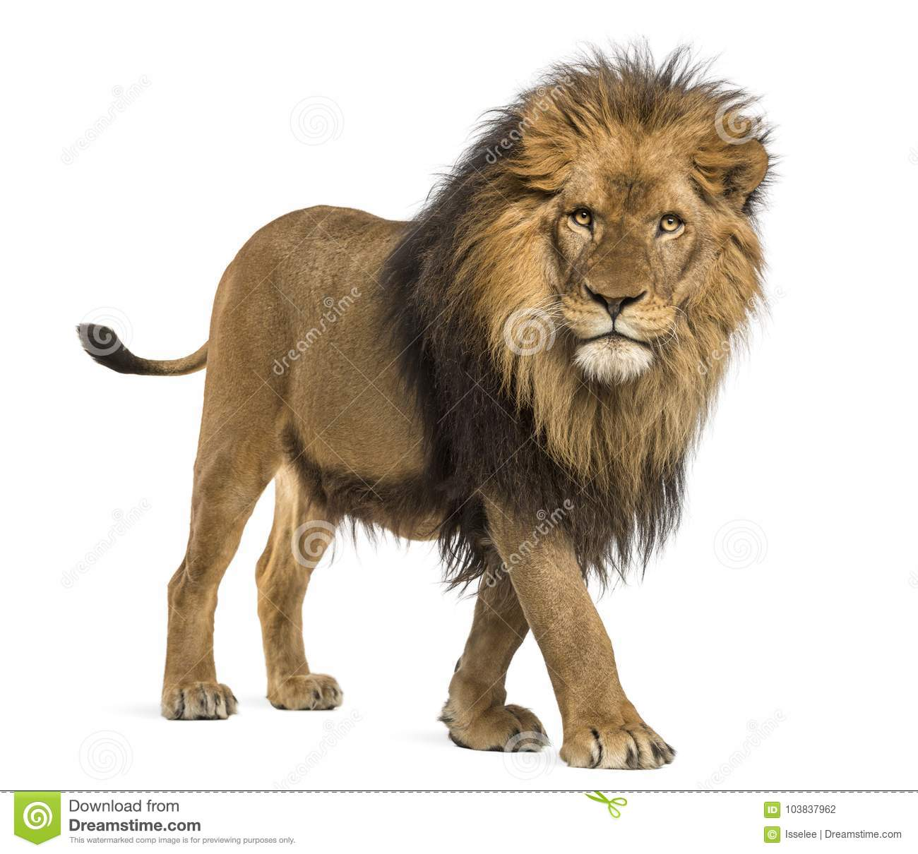 20,20 Lion Walking Photos   Free & Royalty Free Stock Photos from ...