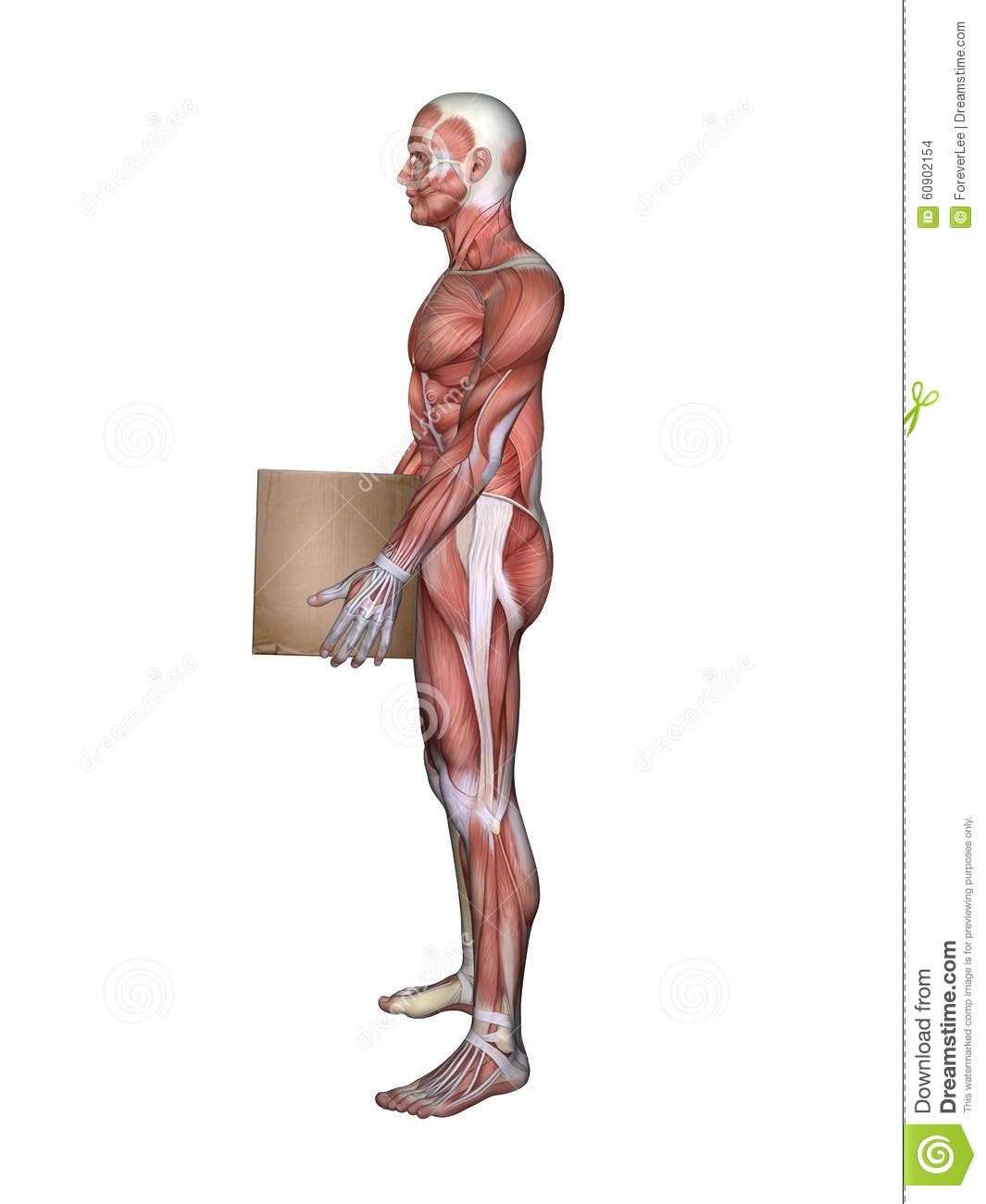 Side View Of Male Muscle Anatomy And Holding Box Stock Illustration ...