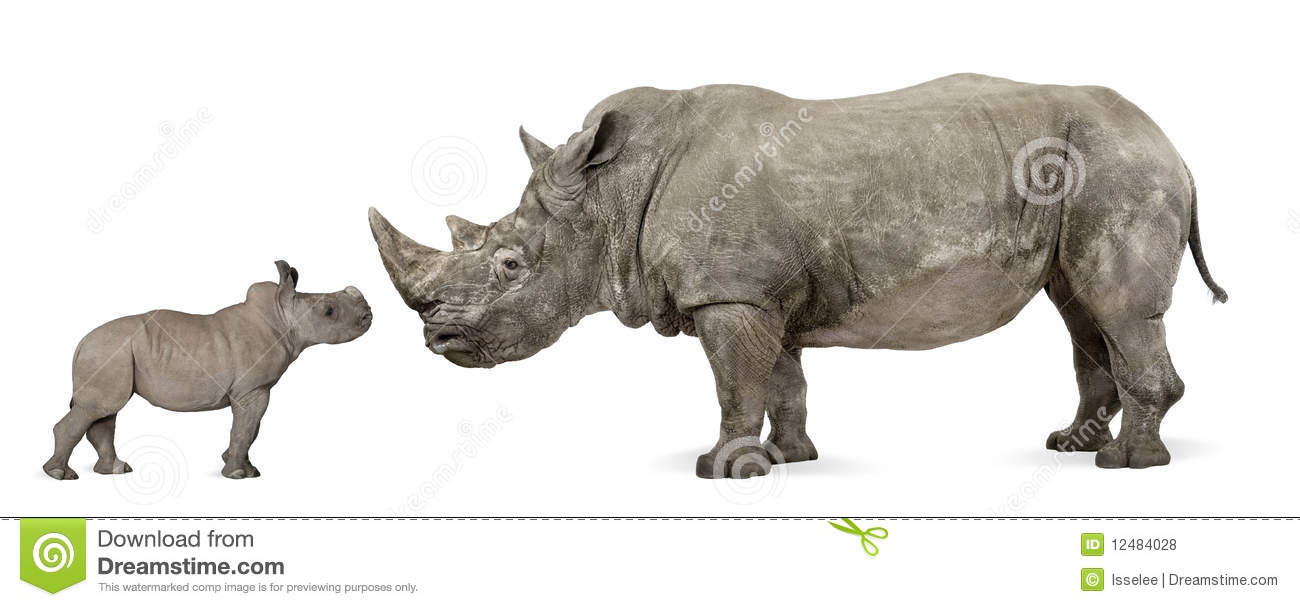 Side View Of Mother And Baby White Rhinoceros Royalty Free