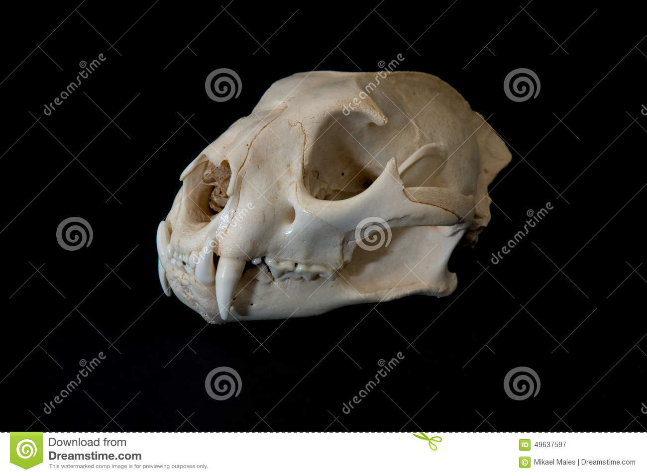 Side View Of Mountain Lion Skull Stock Image - Image of