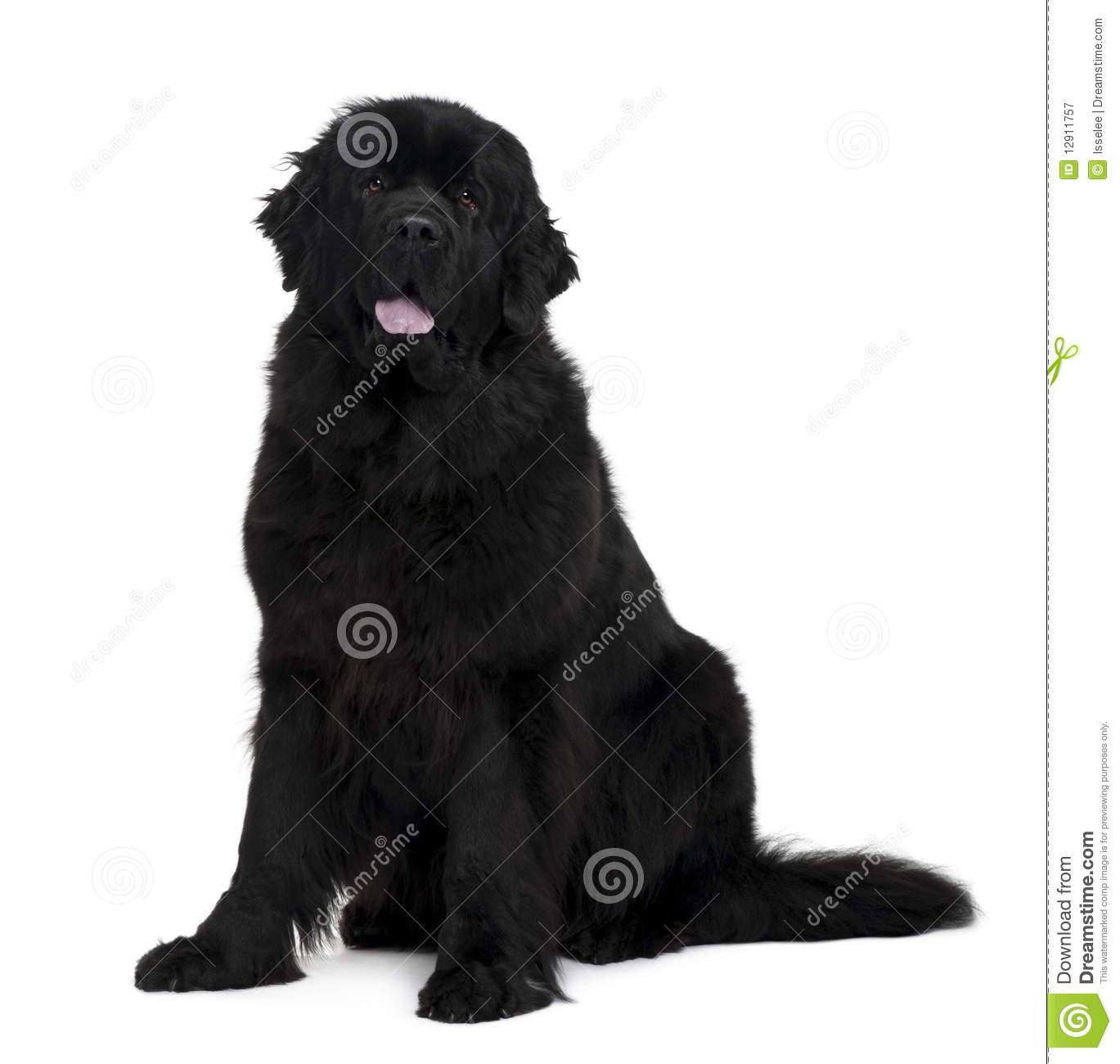Side View Of Newfoundland Dog, Sitting Royalty Free Stock Photography ...