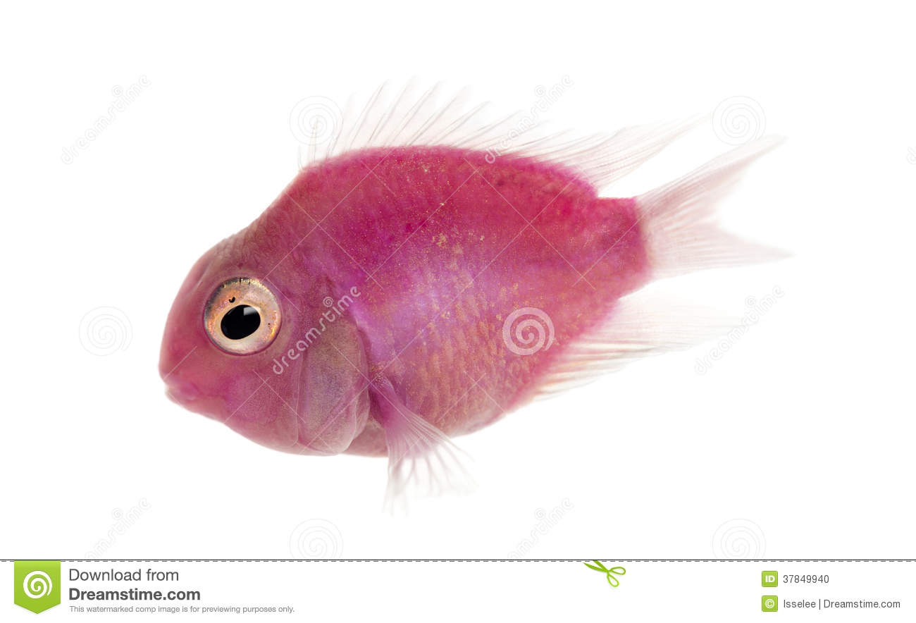 Side view of a pink fresh water fish swimming, isolated