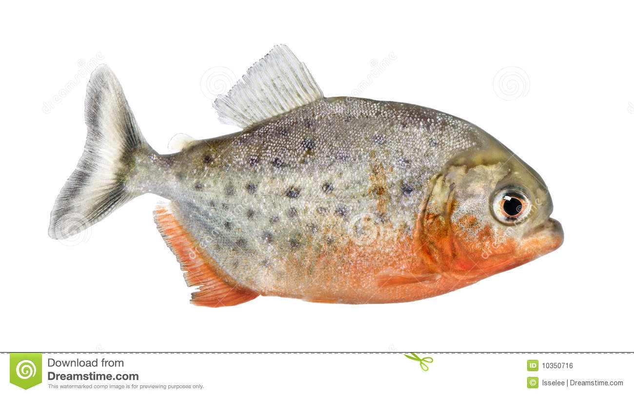 Side view on a piranha fish stock photo image 10350716 for What sides go with fish