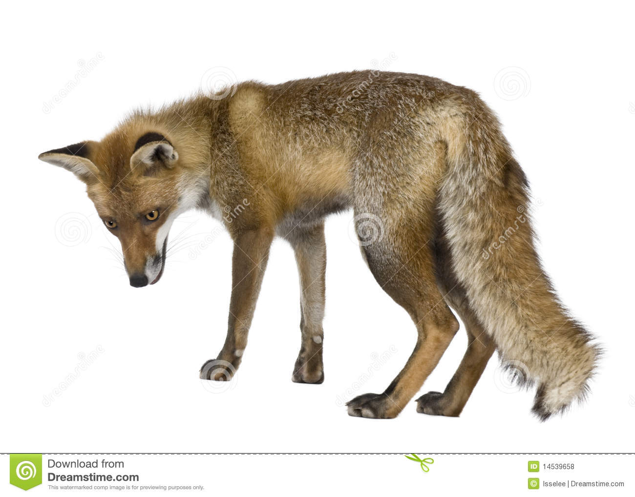 Side View Of Red Fox, ...