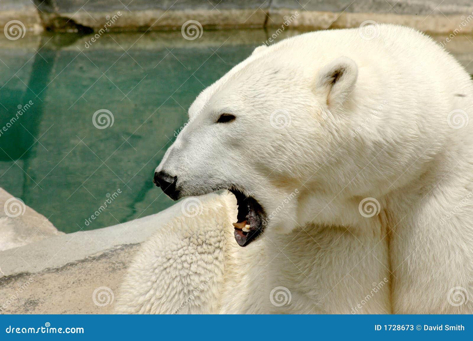 Side View Of A Roaring Polar Bear Stock Photos - Image ...