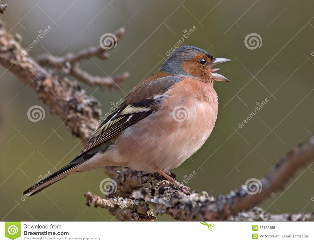 Side view of Singing Chaffinch