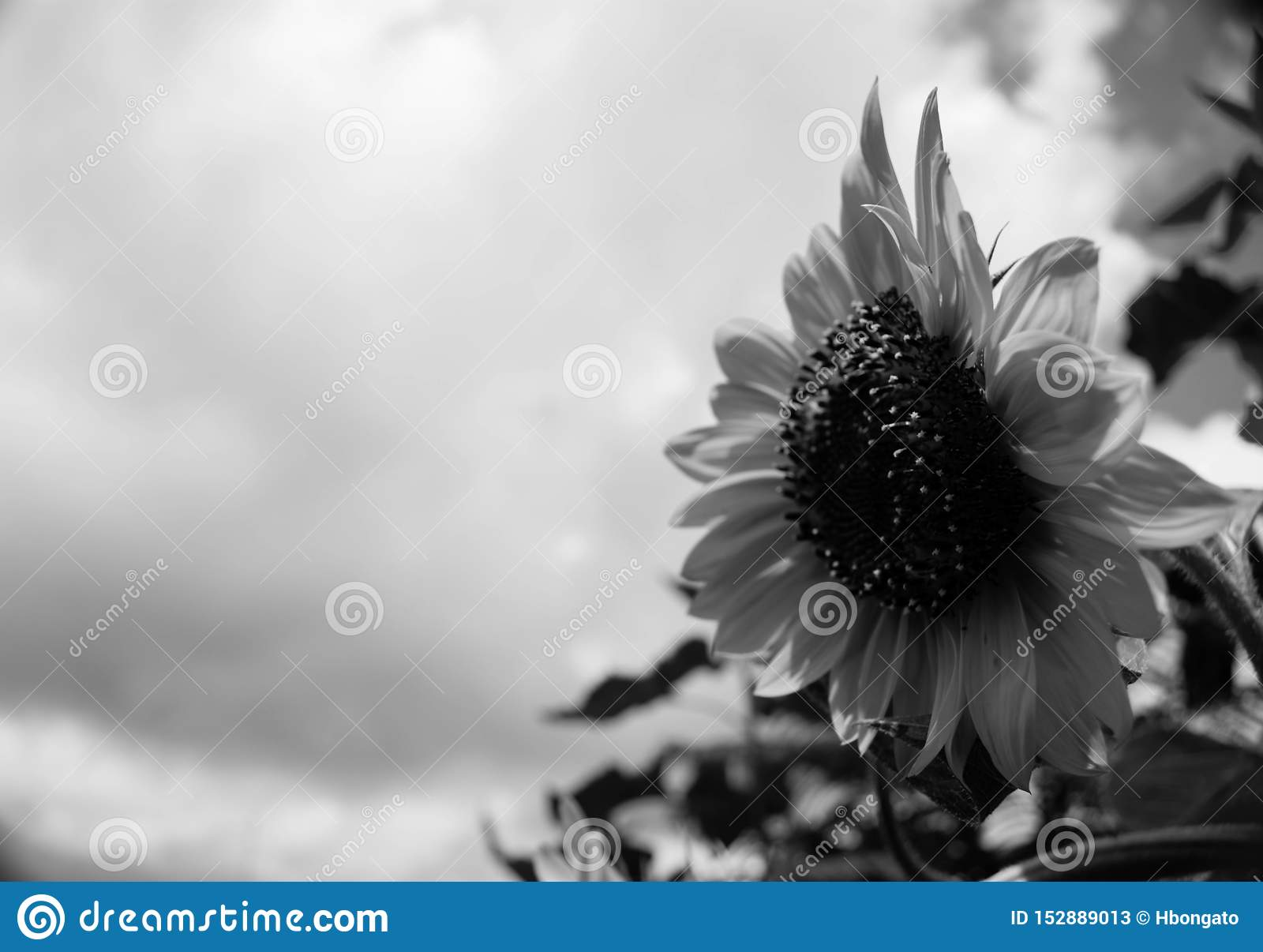 Black And White Isolated Sunflower Sideview