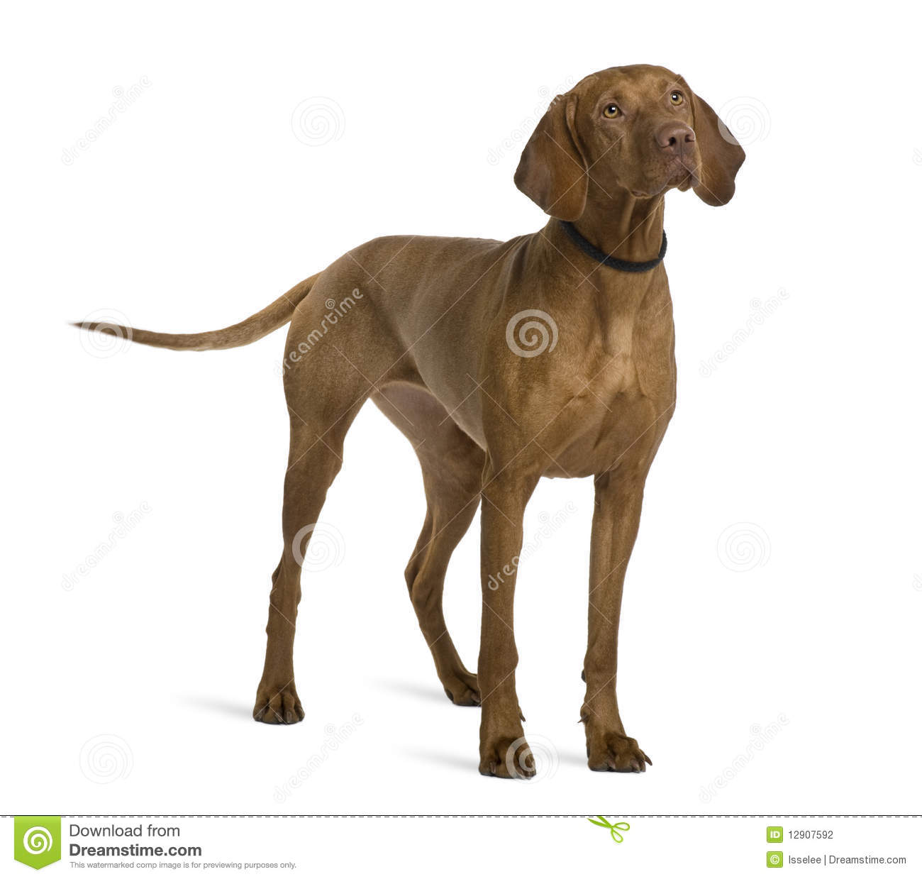 Side View Of Viszla Dog, Standing Stock Photography - Image: 12907592