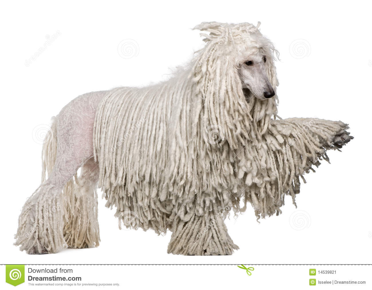 Side view of White Corded standard Poodle