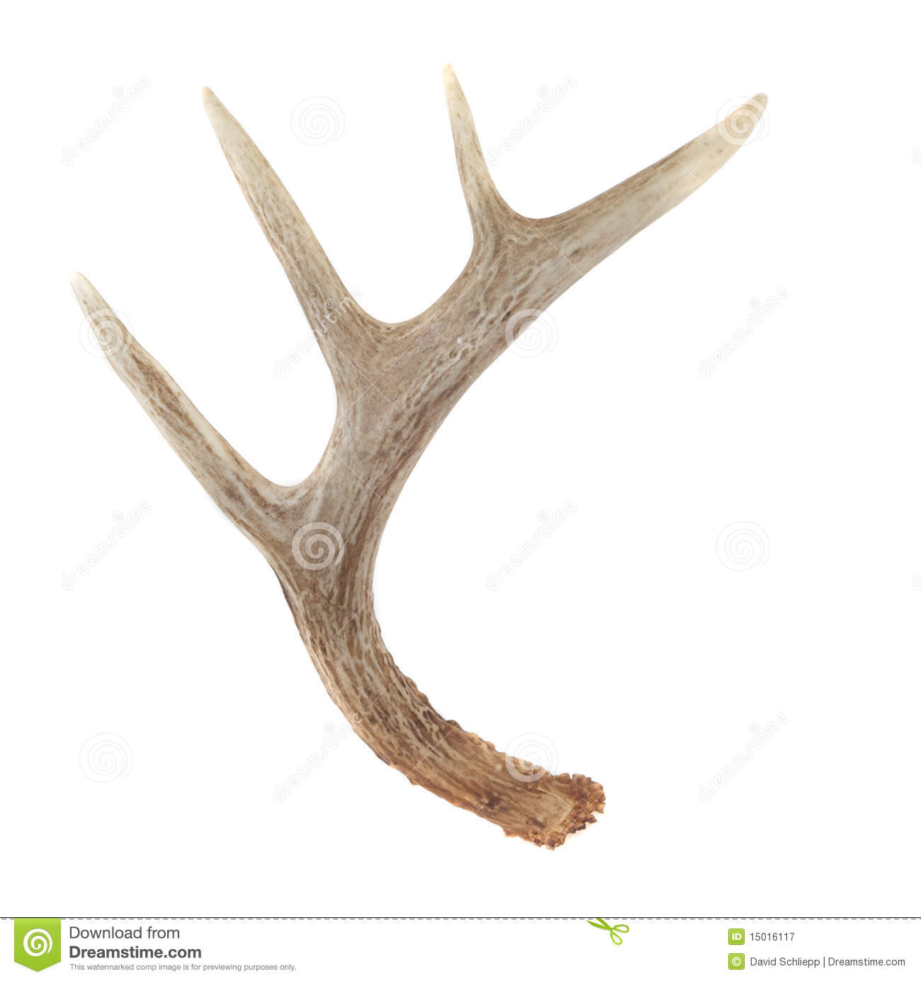 Side View of Whitetail Deer Antlers