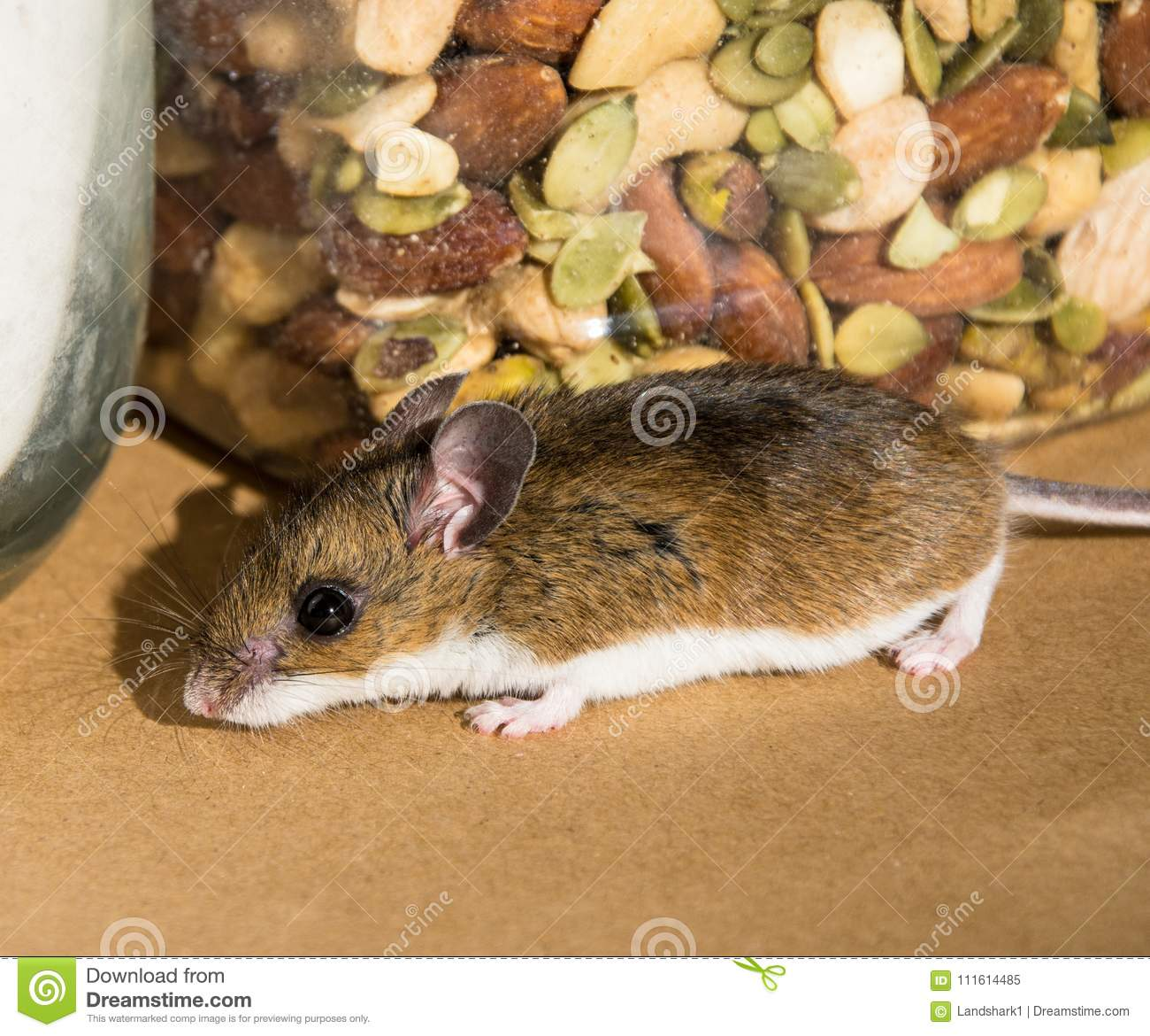 A Wild Brown House Mouse Sniffing Around In A Kitchen Cabinet. Stock ...