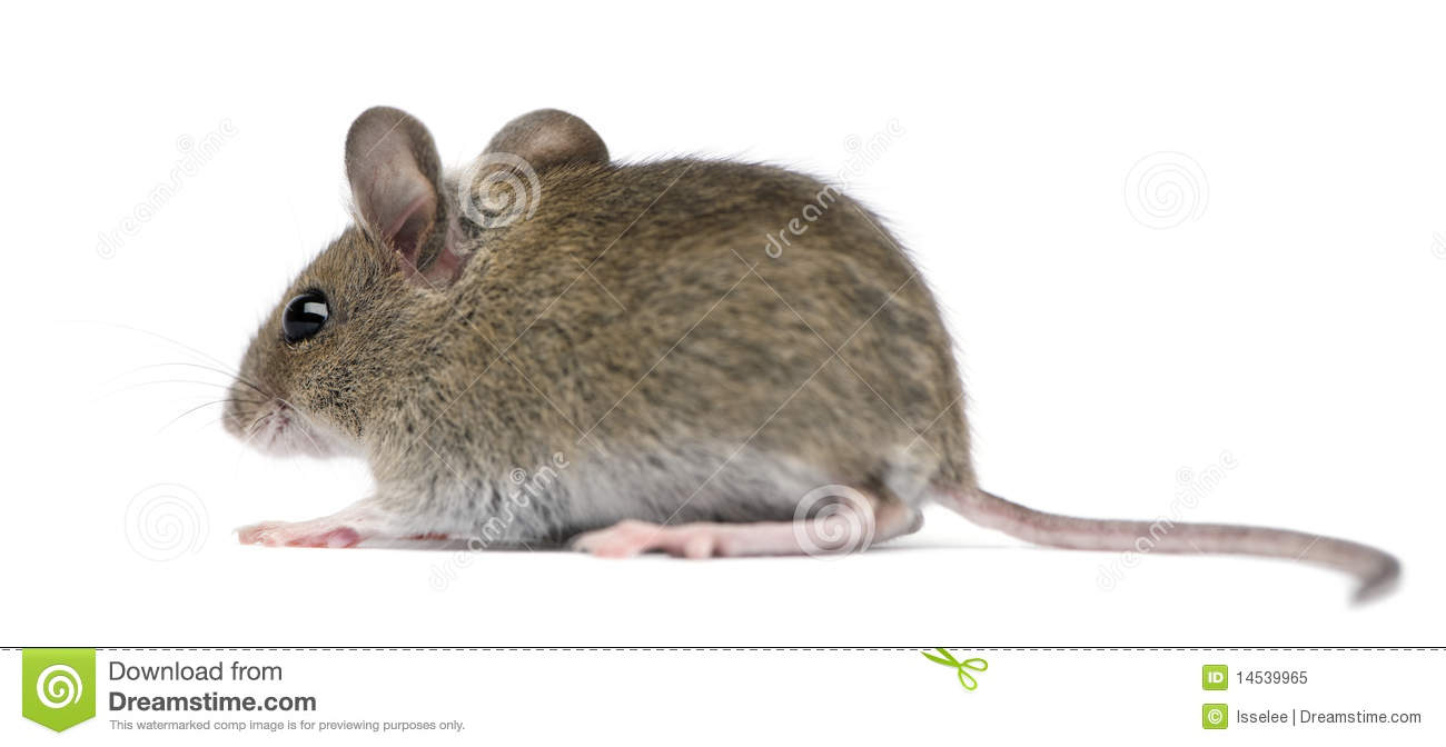 side view of wood mouse i royalty free stock photo   image