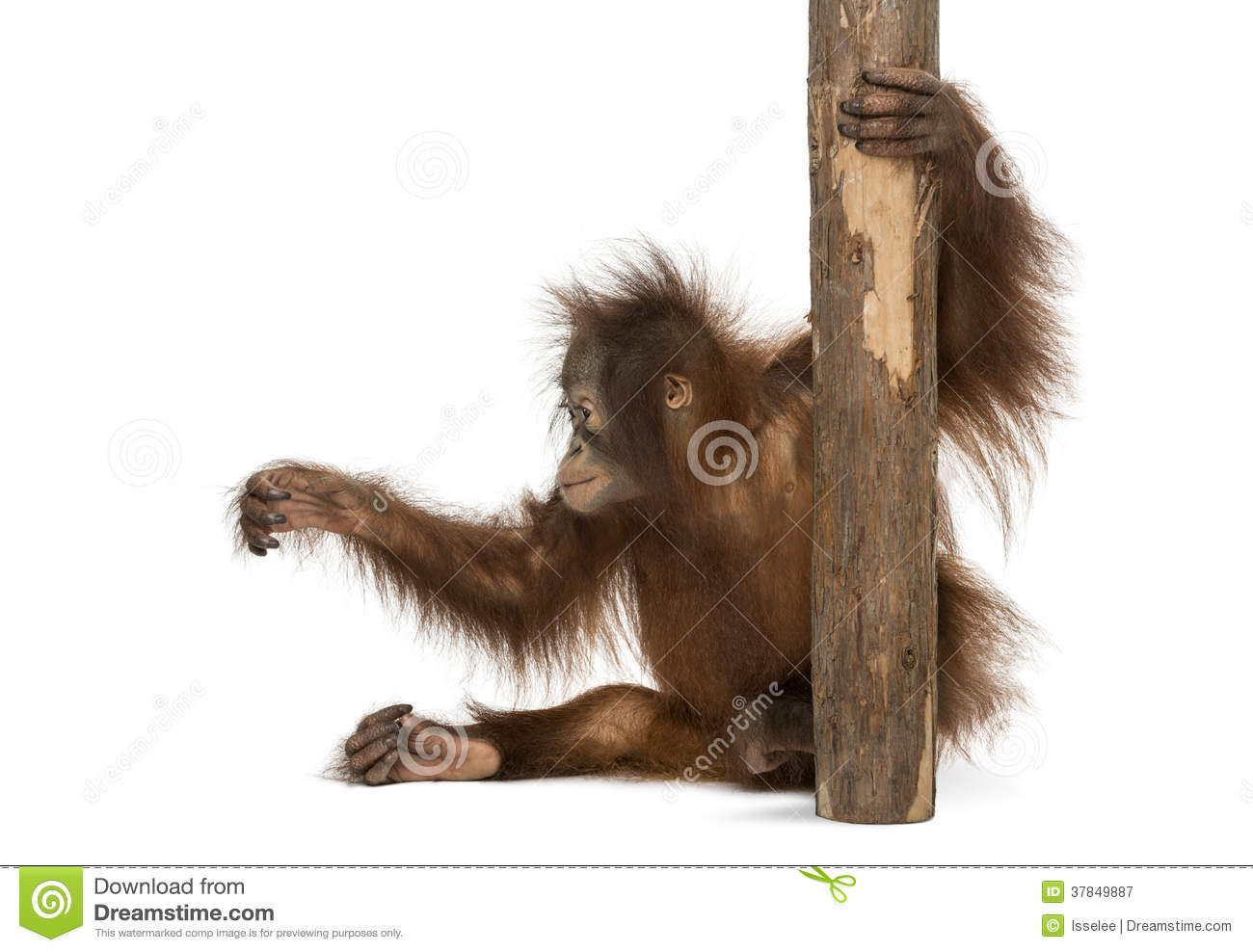 View Of A Young Bornean Orangutan Sitting Holding To Tree Trunk
