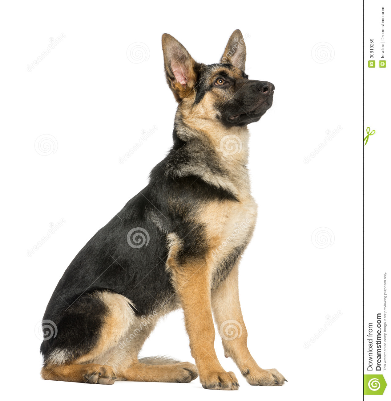 Side View On A Young German Shepherd Sitting Looking Up