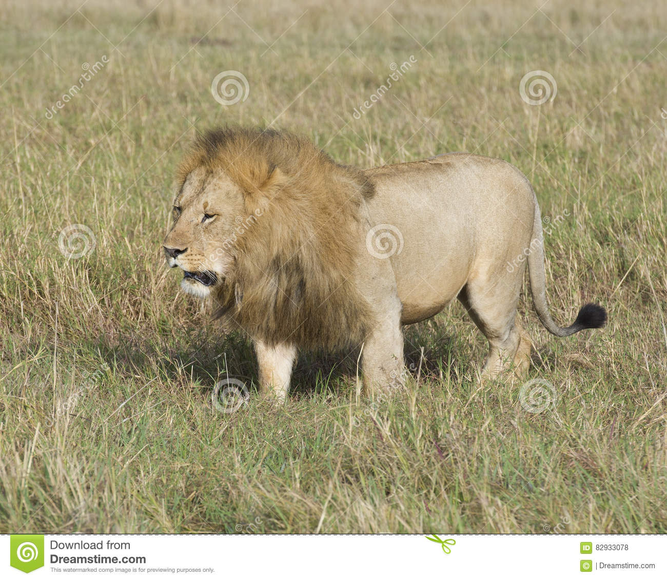 Sideview Of Large Male Lion Walking Through Tall Grass ... - photo#11