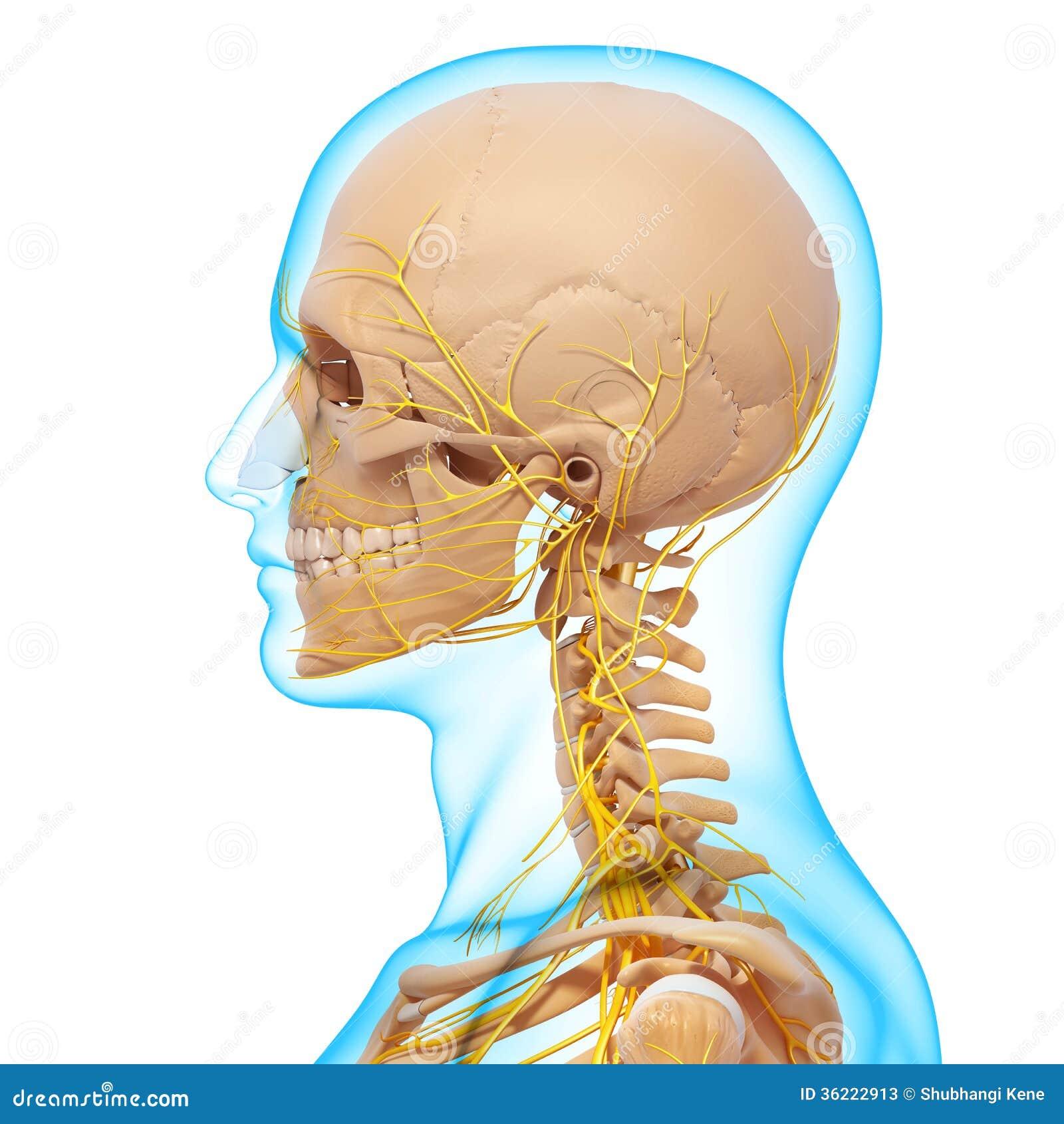 Sidosikt av nervsystemet av det head skelettet