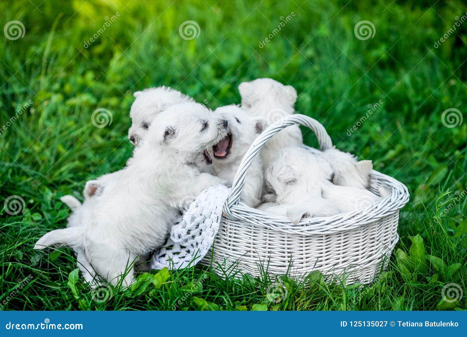 Siedem szczeniaków Zachodni średniogórze Biały Terrier w koszu z pięknymi światłami przy tłem