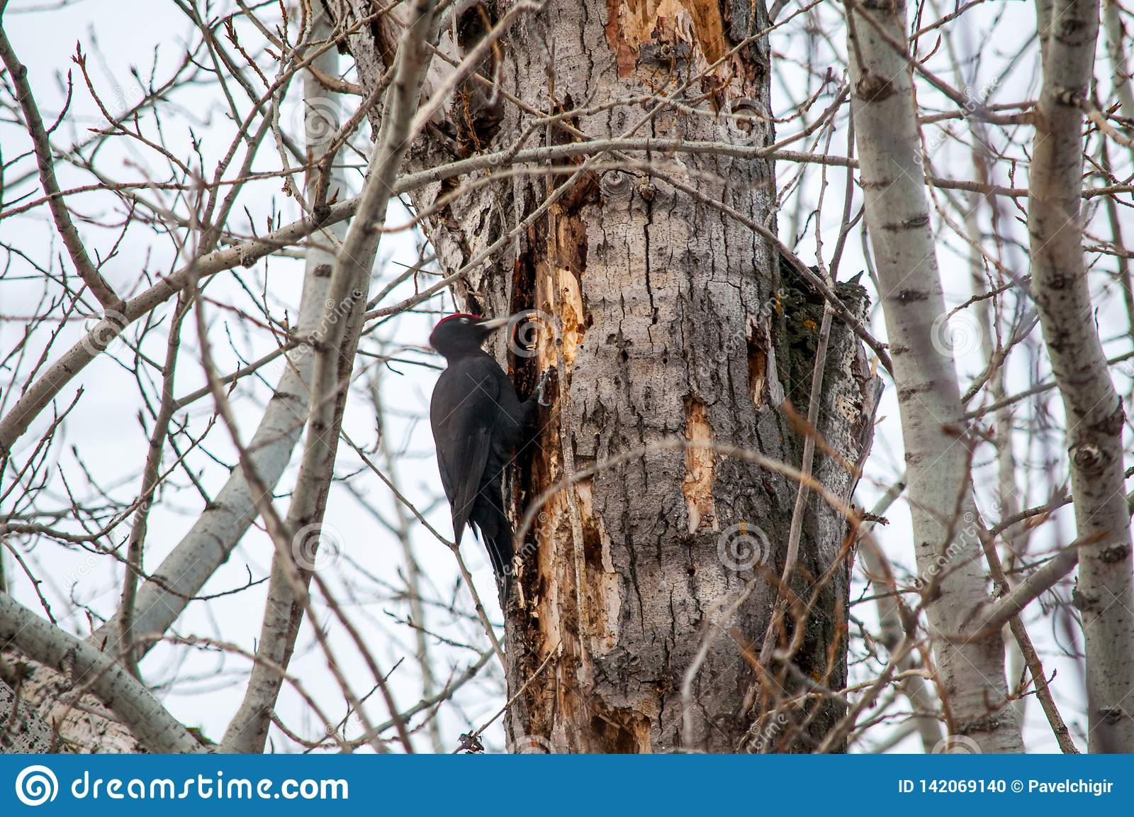 Siedzący drzewny dzięcioł