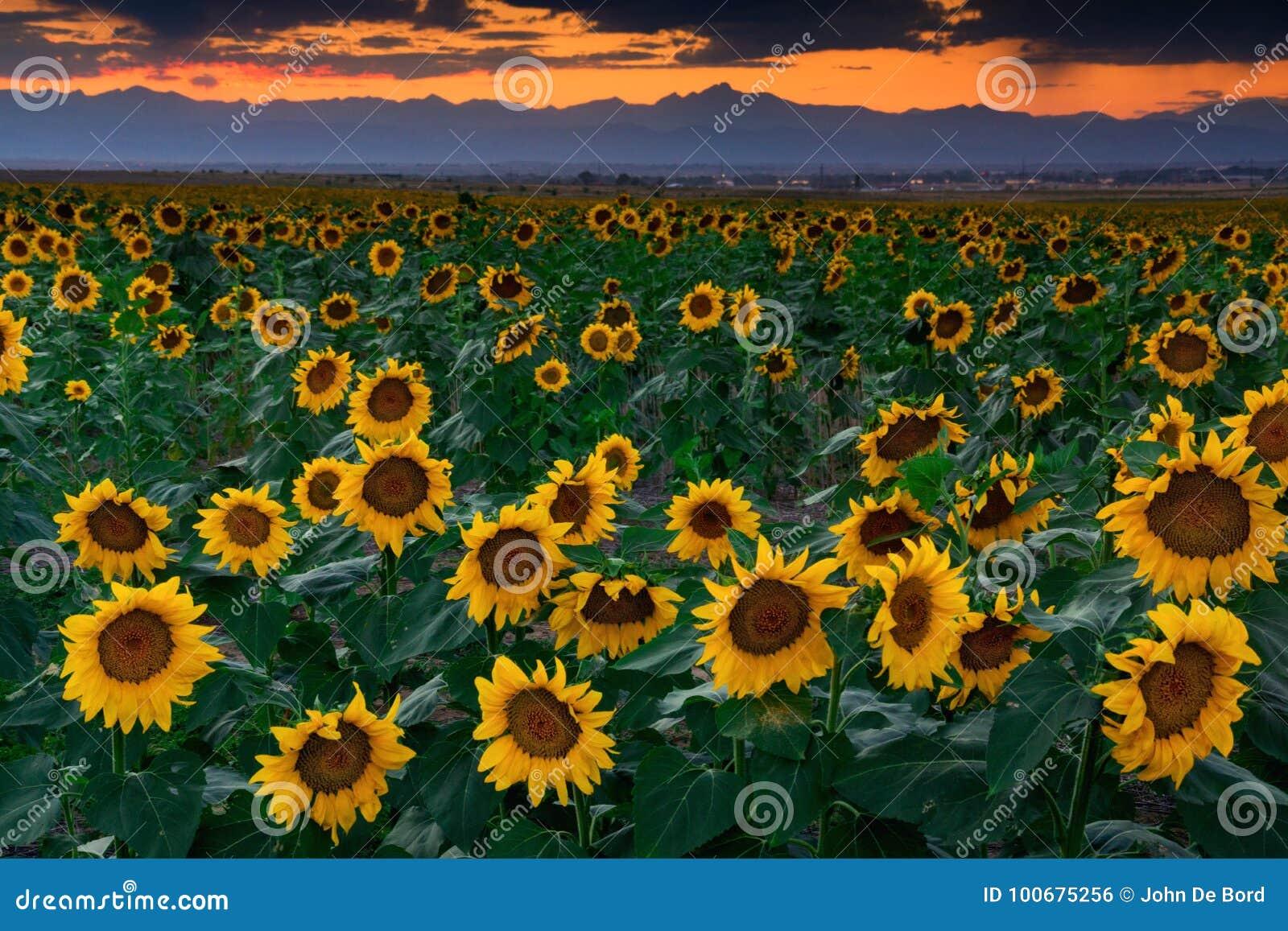 Sierpniowi słoneczniki W Kolorado