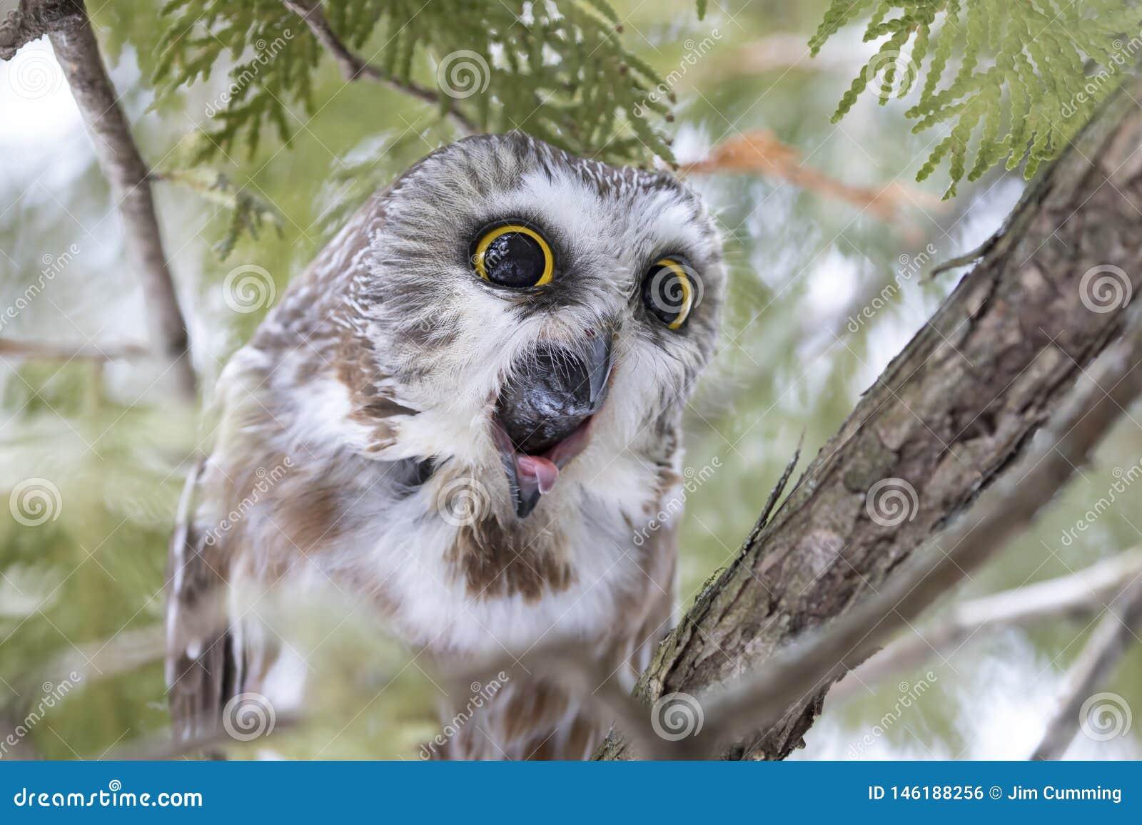 Sierra-amole el búho que tose para arriba una pelotilla en un árbol de cedro en Canadá