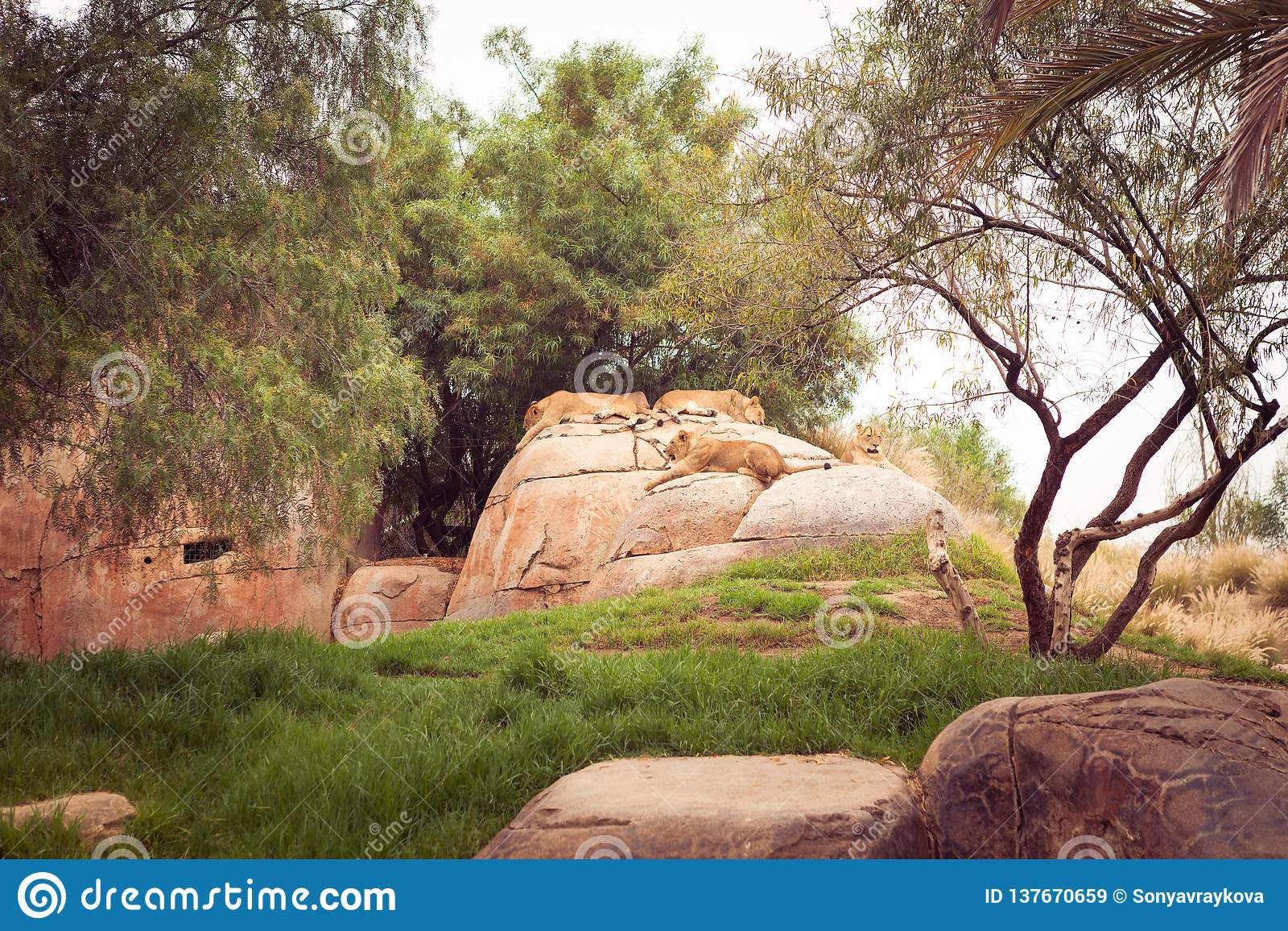 Siesta de los leones - Safari Park San Diego