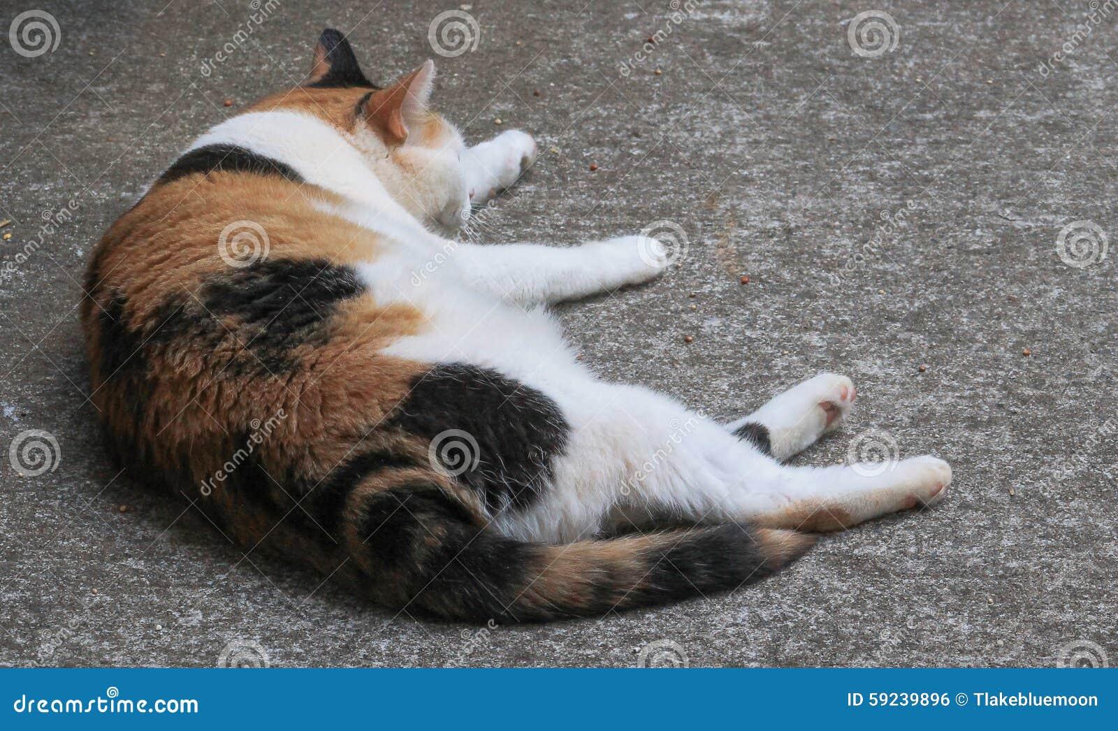 Siesta del gato de calicó