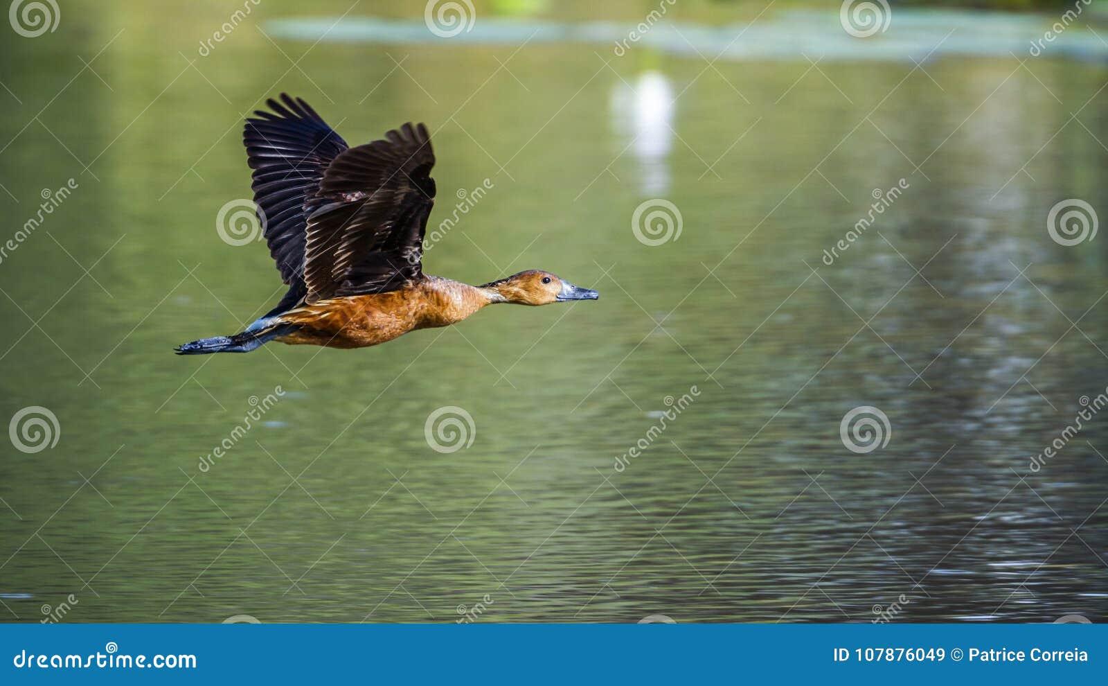 Siffler-canard fauve en parc national de Mapungubwe, Afrique du Sud