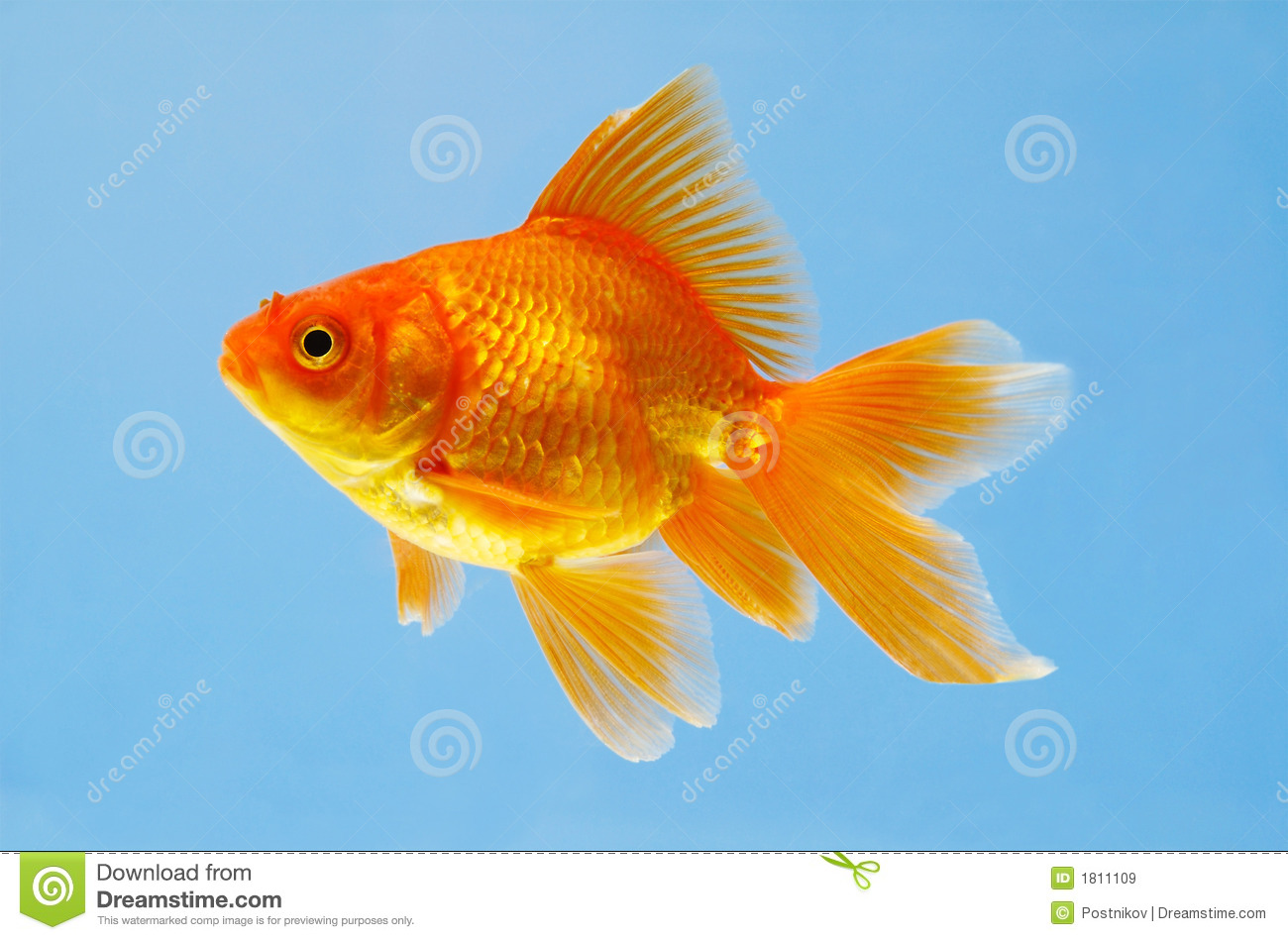 Sight of an aquarian small red fish stock image image for Image of fish