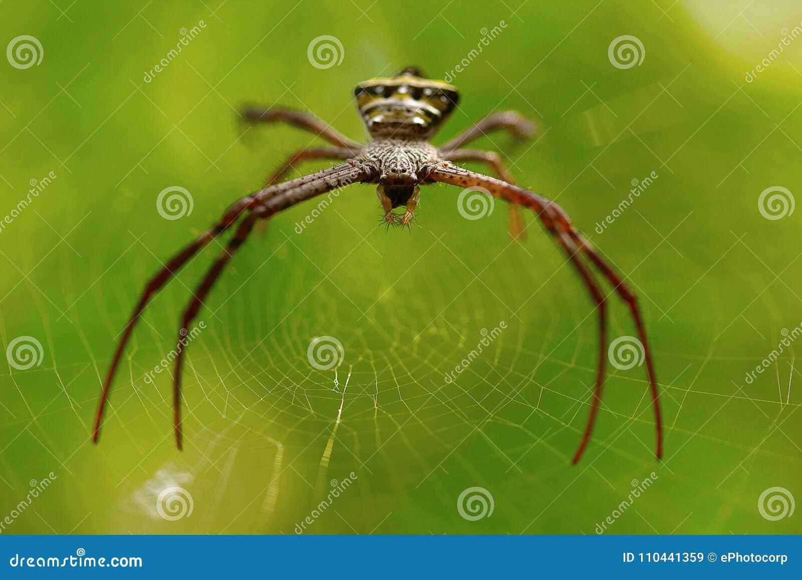 Signature spider, Argiope sp , Goa, INDIA