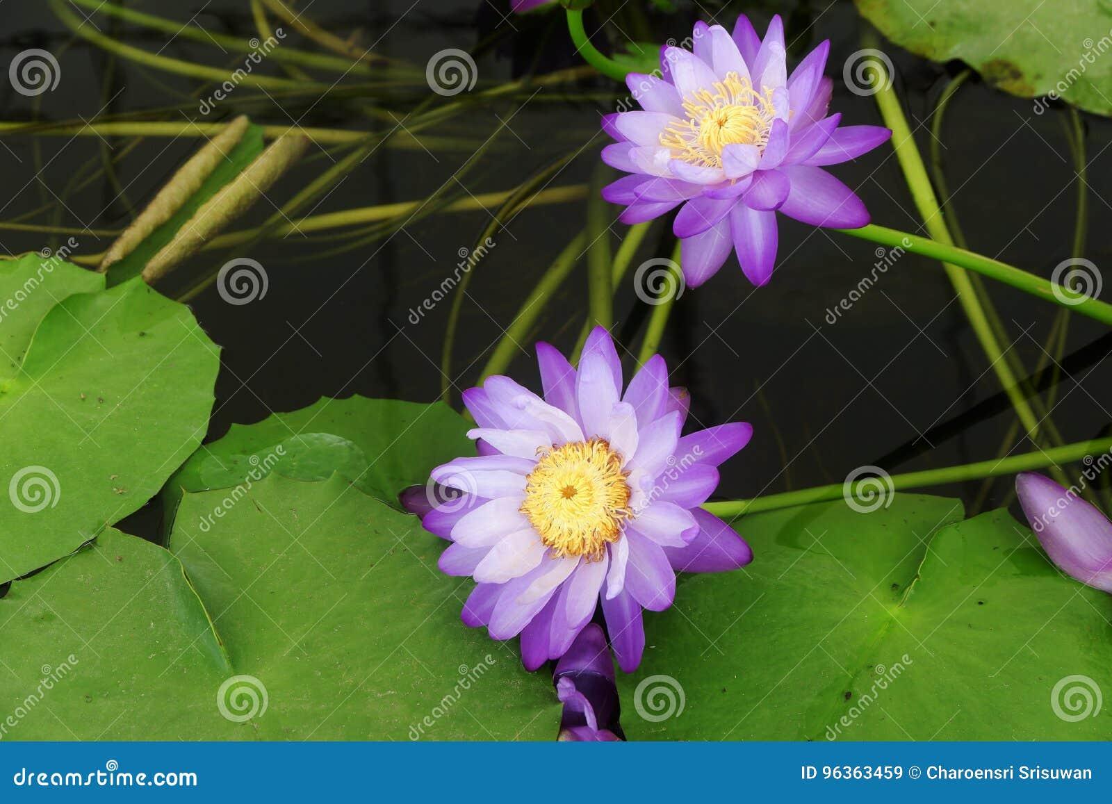 Signification Spirituelle De Beau Lotus Pourpre De Couleur Image