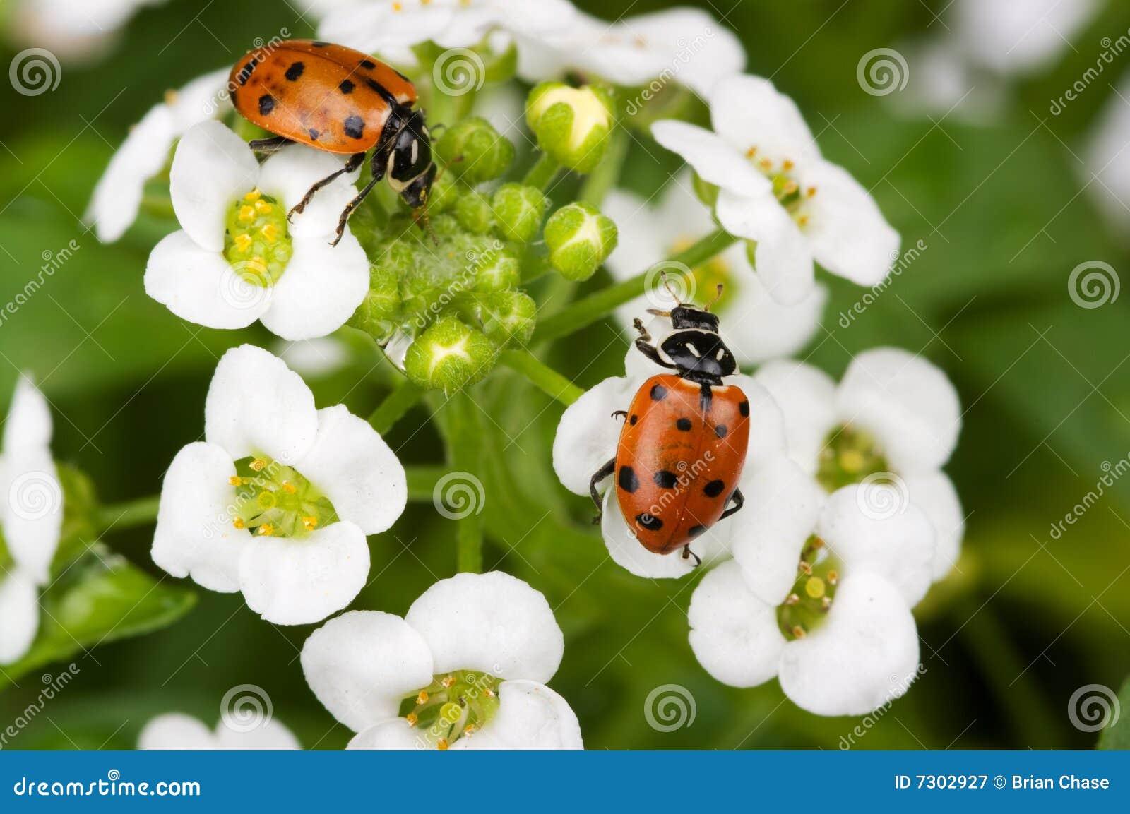 Signora Bugs
