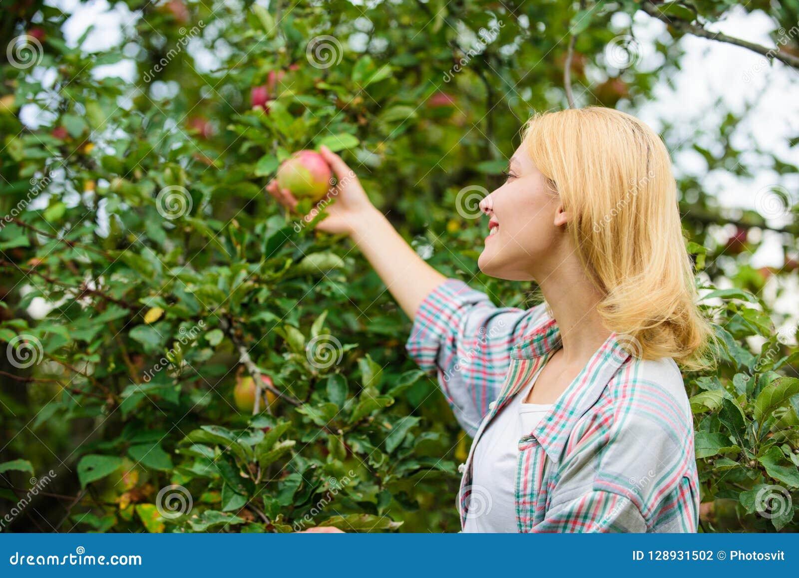 Signora dell agricoltore che seleziona frutta matura dall albero Raccolta del concetto Fondo maturo di melo della tenuta della do