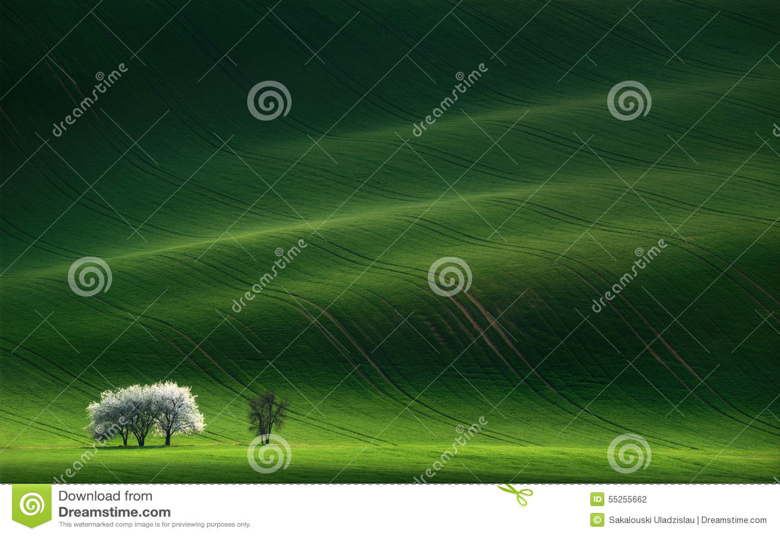 Signore nel bianco Alberi di fioritura della molla bianca su un fondo di una collina verde, che è evidenziata dal tramonto
