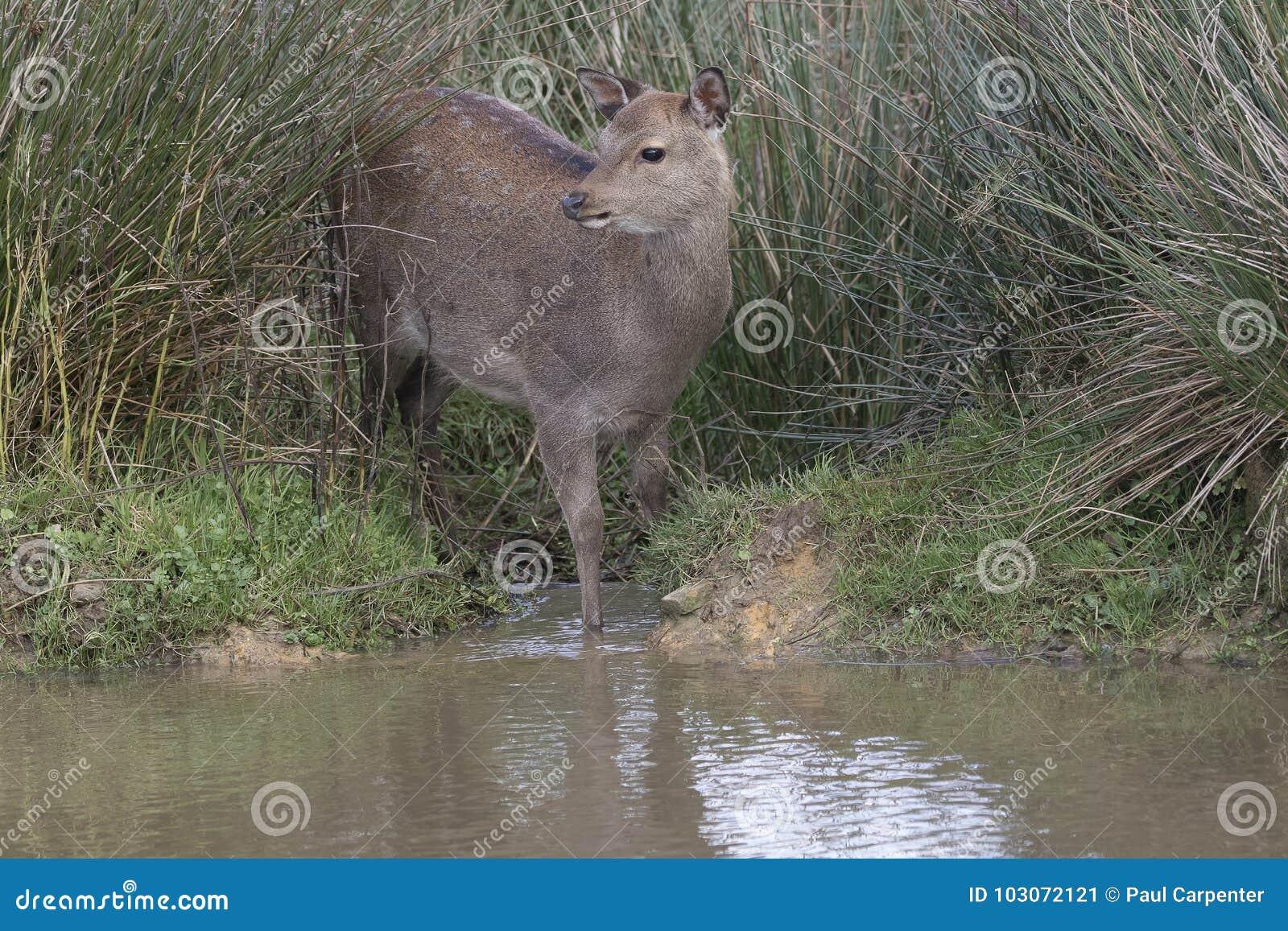 Sika鹿,雄鹿,后面,小牛画象,当在长的草时