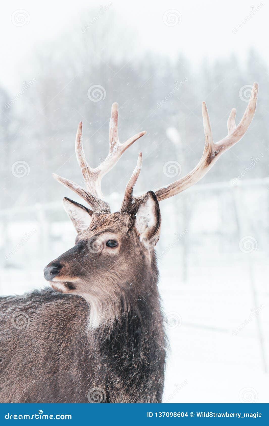 Sika deer , Cervus nippon, spotted deer