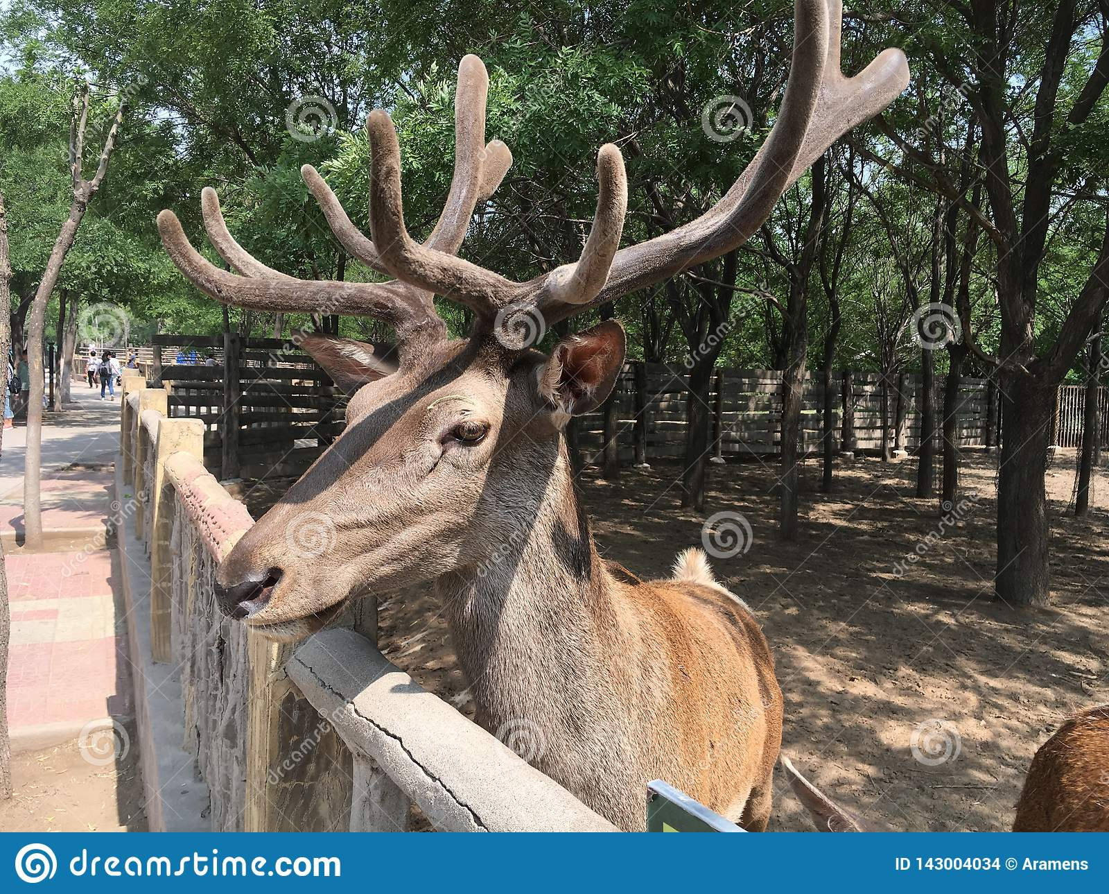 Sika deer in the zoo