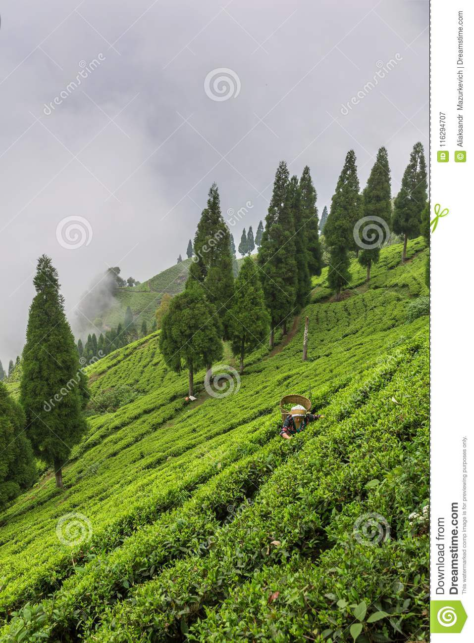 Indian Woman Is Picking Up The Fresh Tea Leaves From Tea ...