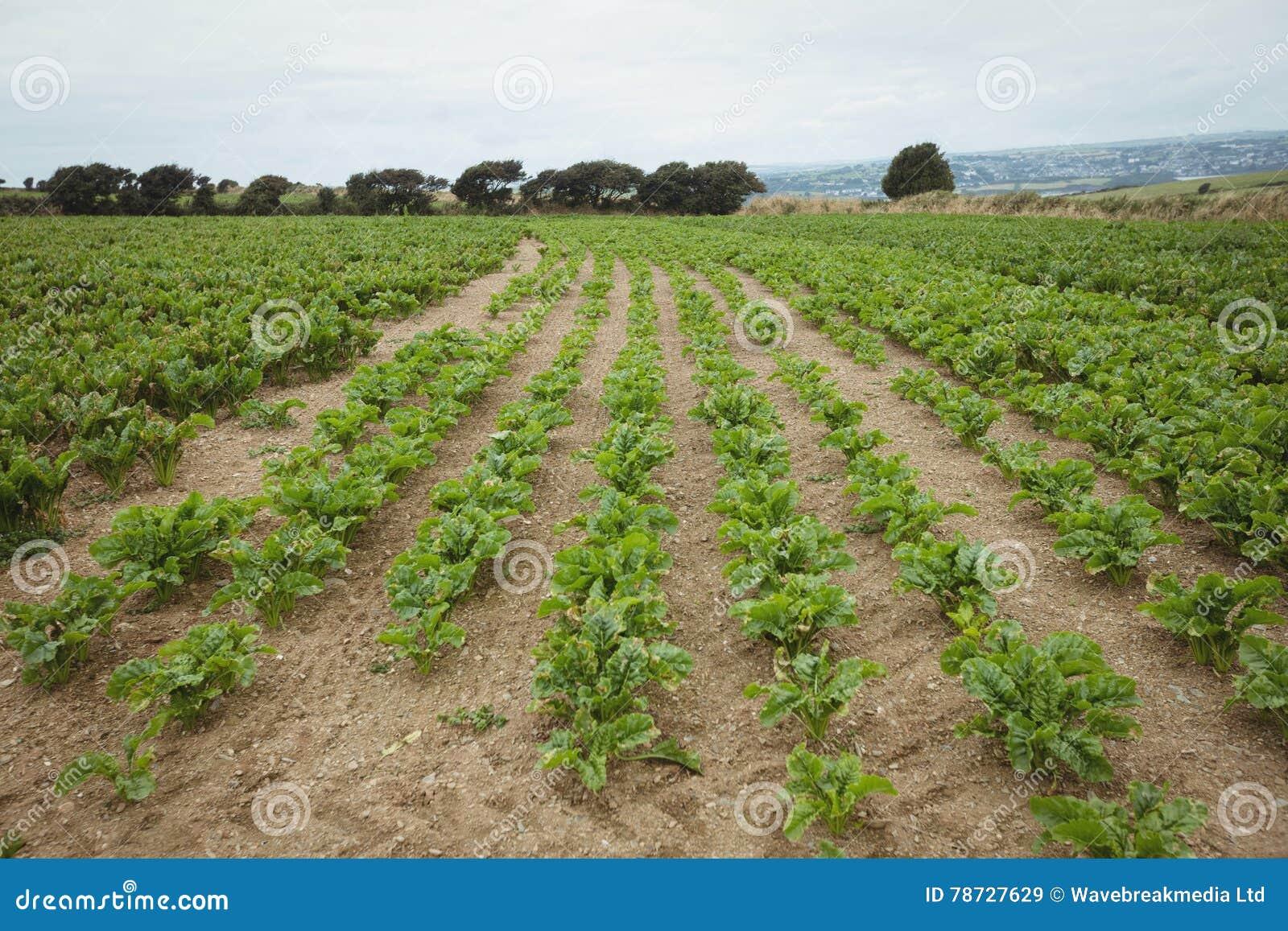 Sikt av den gröna kolonin i fältet