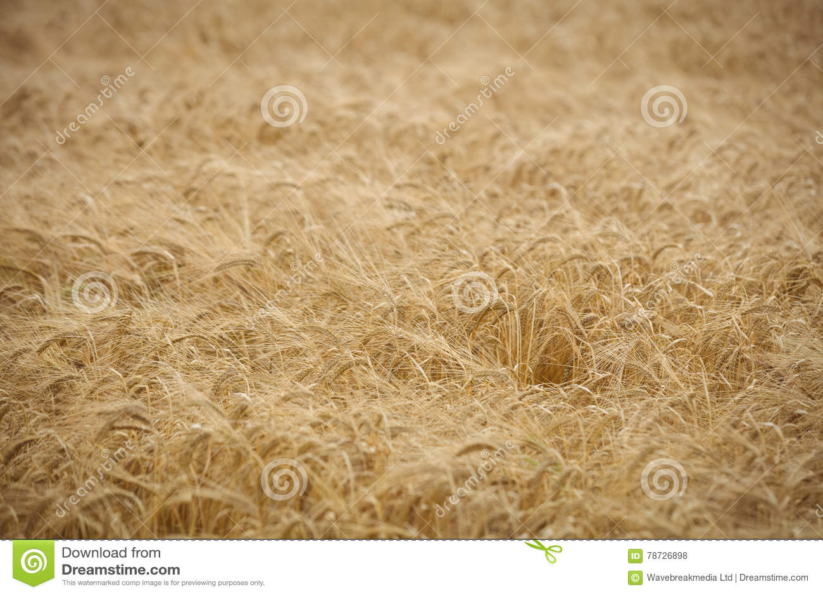 Sikt av det guld- fältet