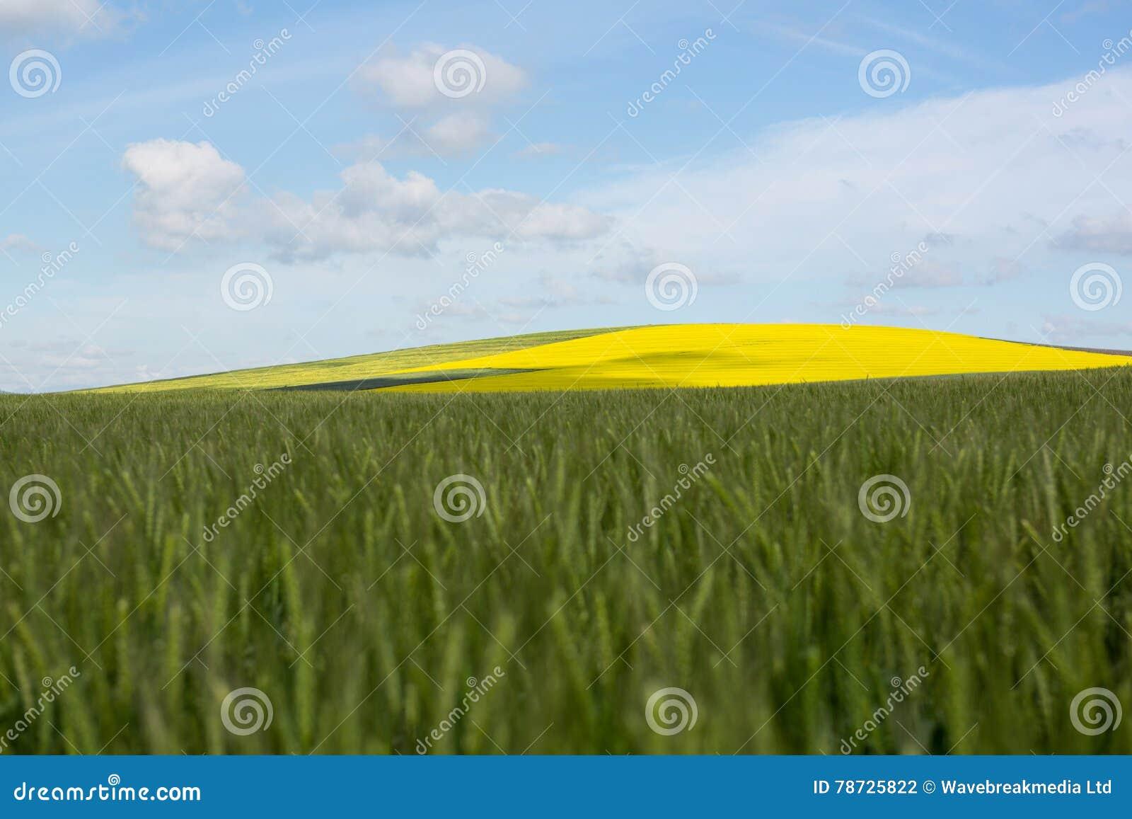 Sikt av det härliga vetefältet