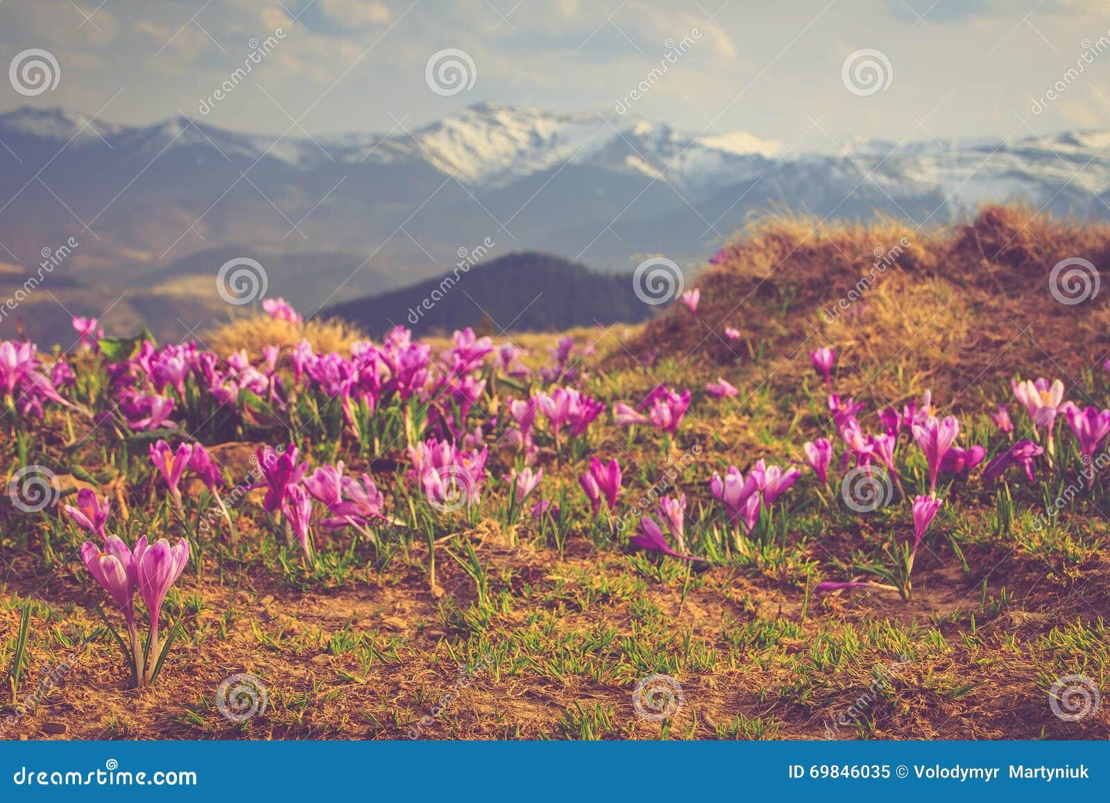 Sikt av en äng av blommande krokusar i bergen