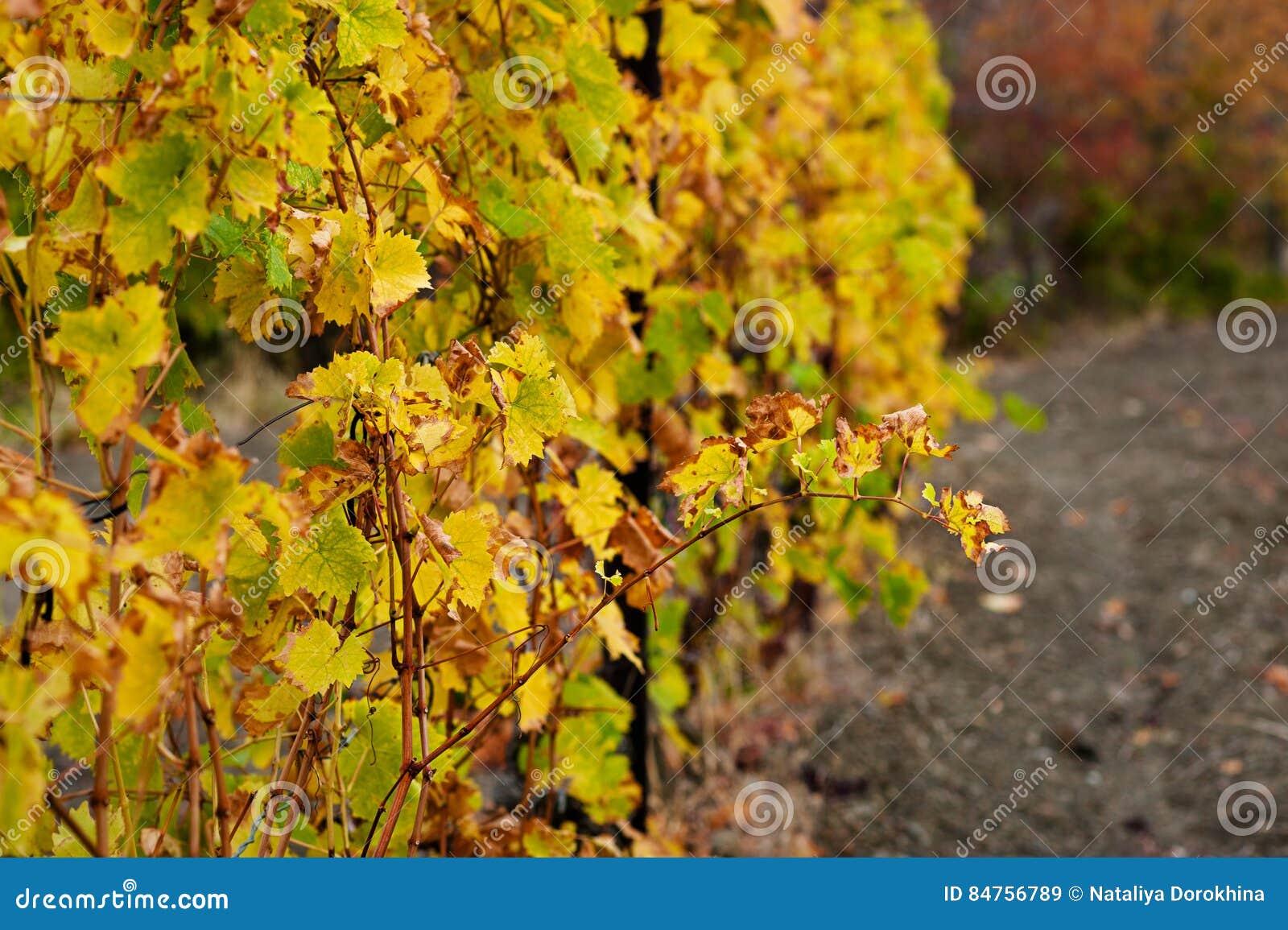 Sikt av vingårdar i höstliga färger som är klara för skörd- och produktionvin Winemakingbegrepp