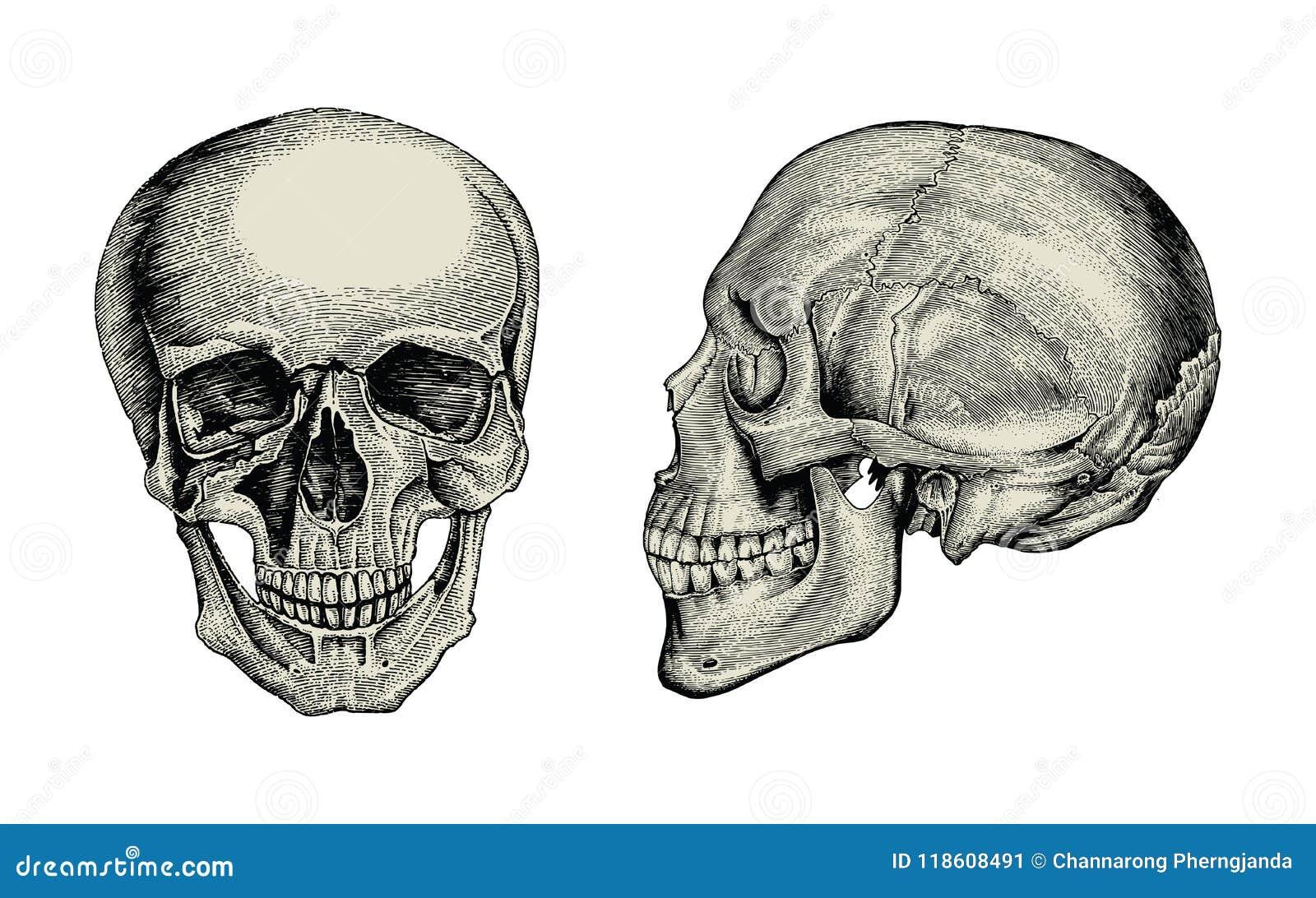 Sikt för tappning för teckning för anatomiskallehand sido och främre, av mummel