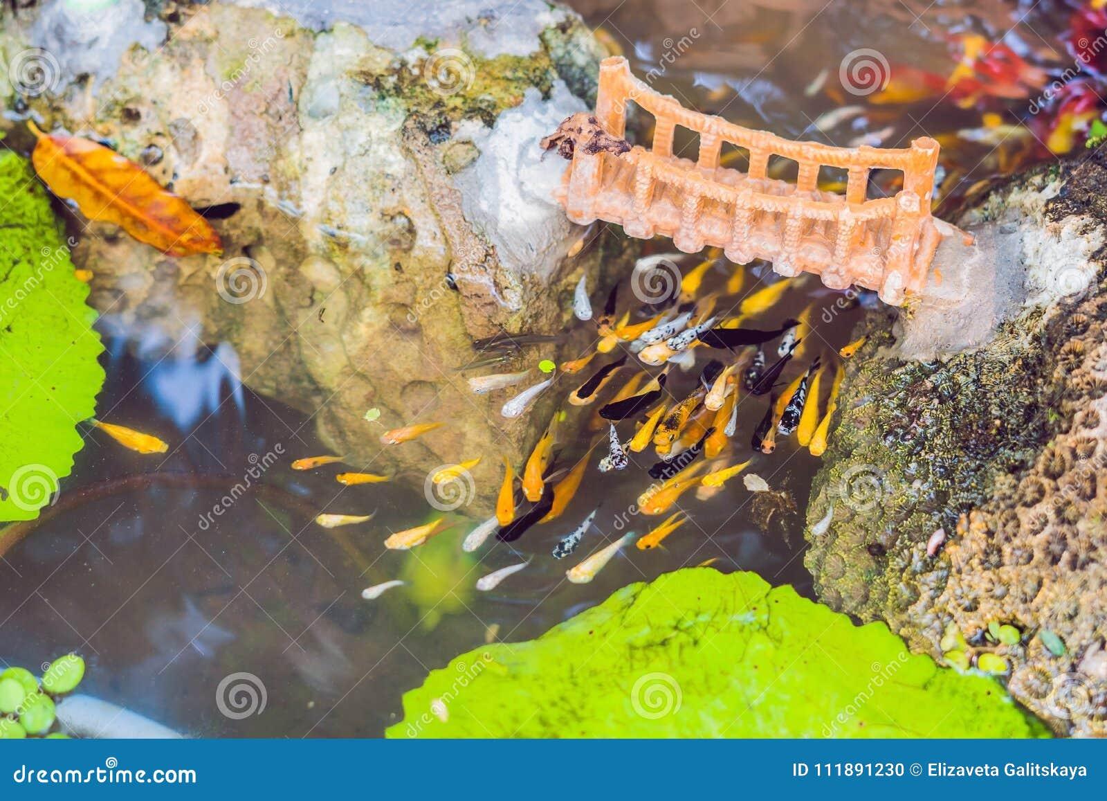 Sikten av kinesträdgårddammet med mångfärgad karpkoi fiskar