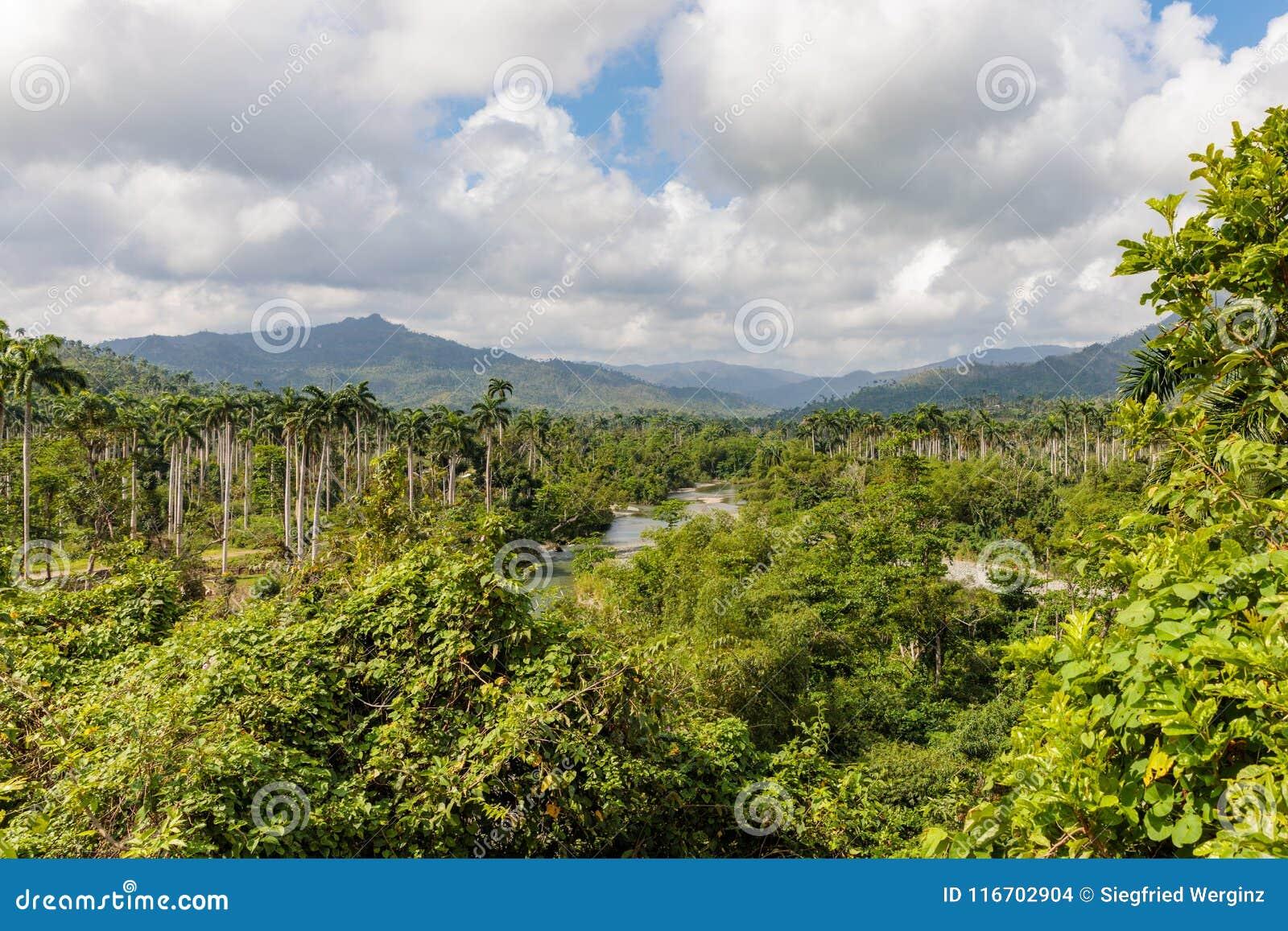Sikten på djungel med gömma i handflatan på nationalparkalejandroen de humboldt nära baracoaKuba