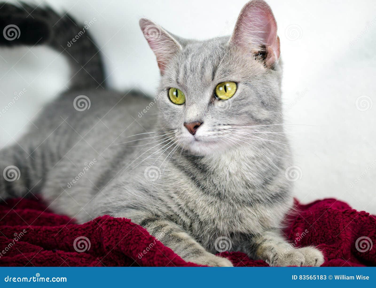 Silberne Tabby Cat auf roter Decke, weißer Hintergrund